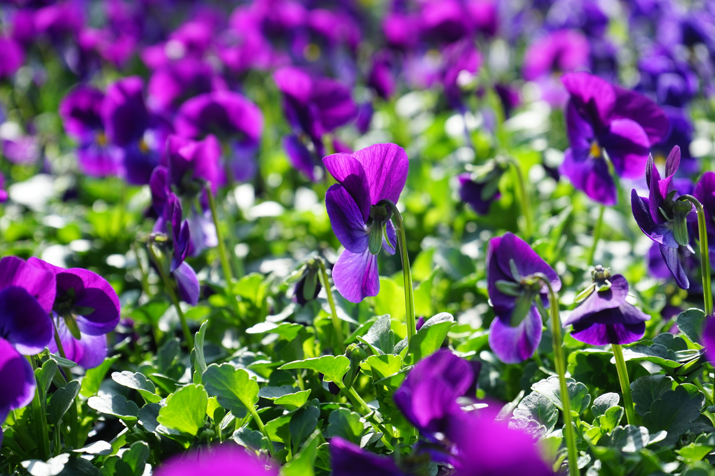 Images gratuites fleur champ prairie p tale floraison couleur botanique color flore - Image fleur violette gratuite ...