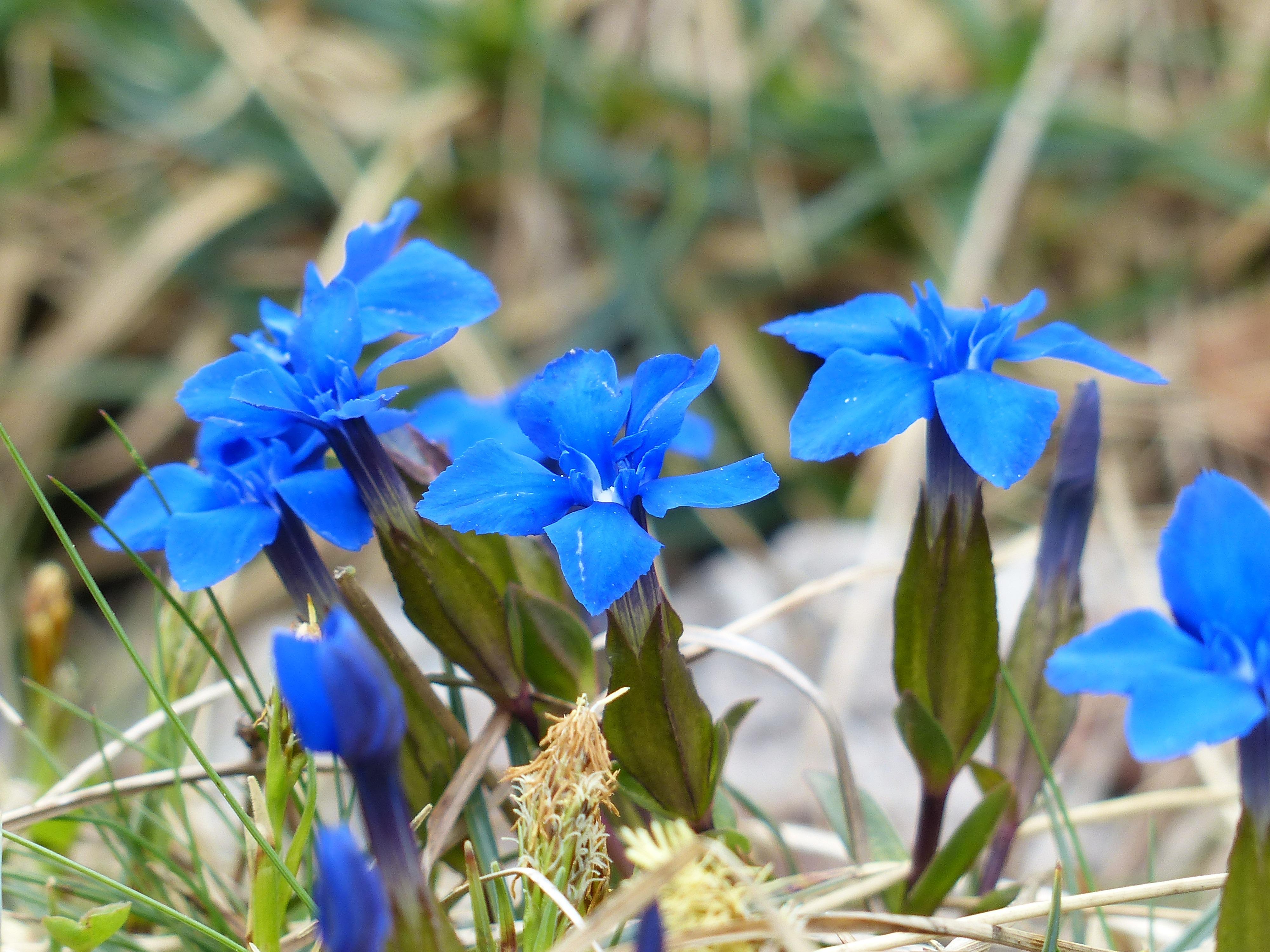 лекарственный картинки синий цветок