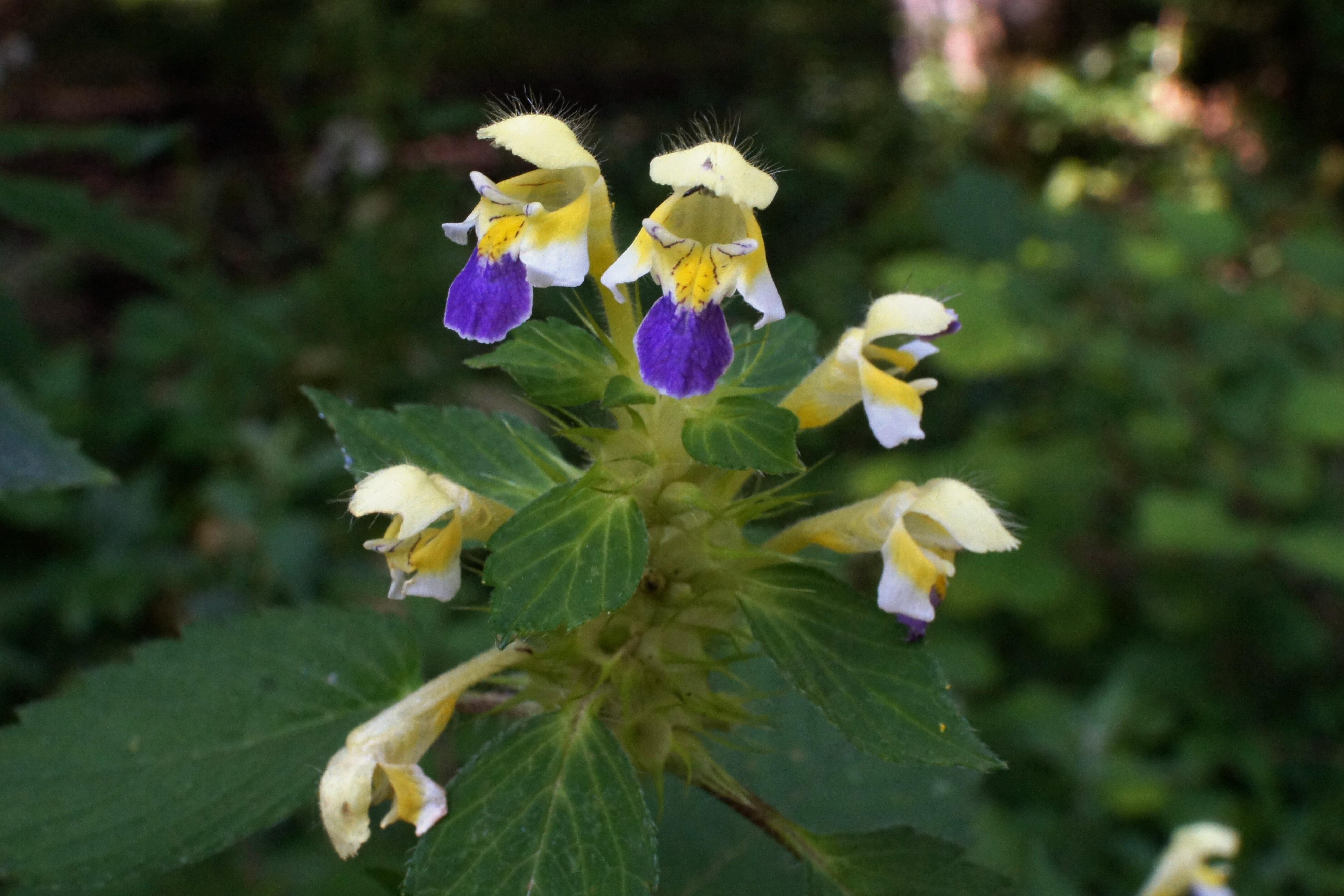 Images gratuites fleur floraison botanique fermer flore fleur sauvage ortie plante - Image fleur violette gratuite ...