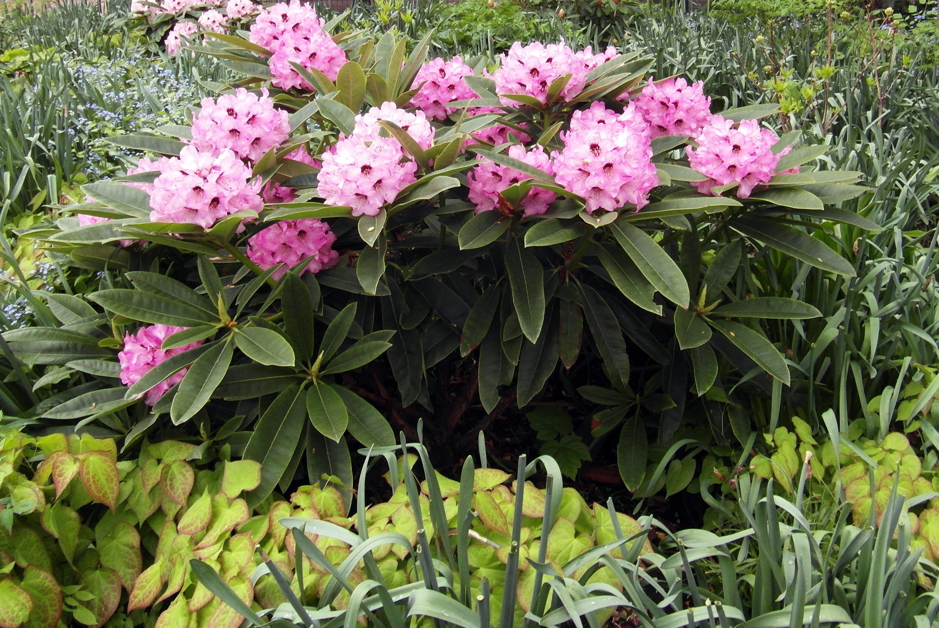 Kostenlose foto blühen Blume Busch immergrün Botanik Garten