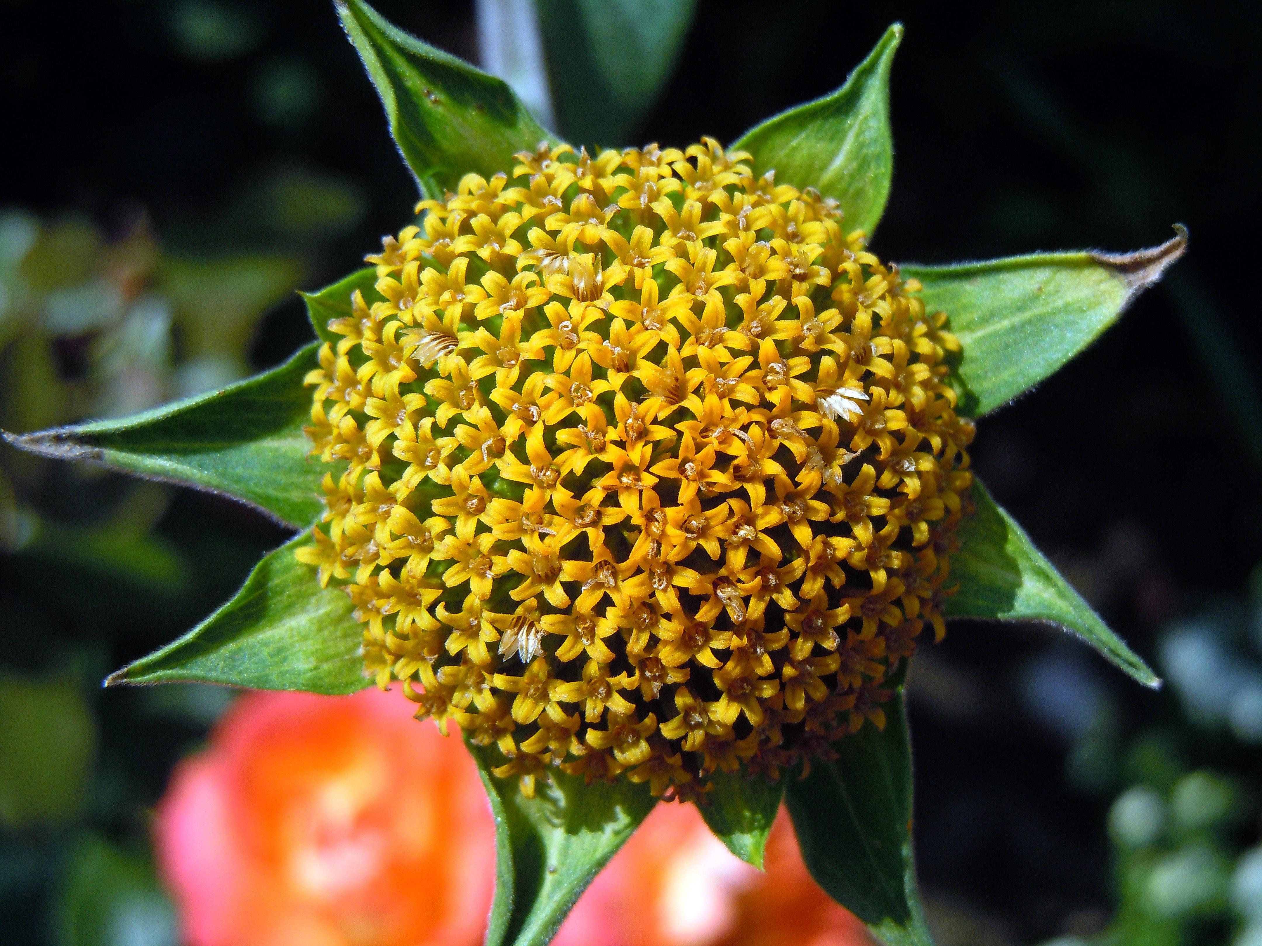 Fiori Gialli A Palla.Immagini Belle Fiorire Fioritura Cibo Produrre Botanica