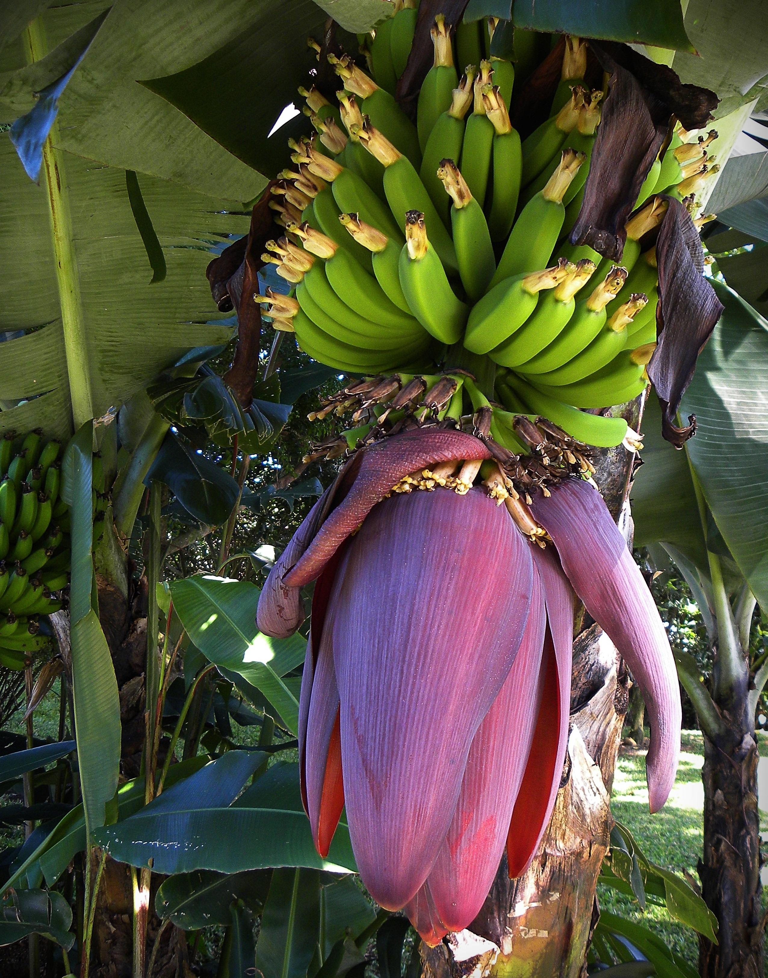 Фото банановый цветок