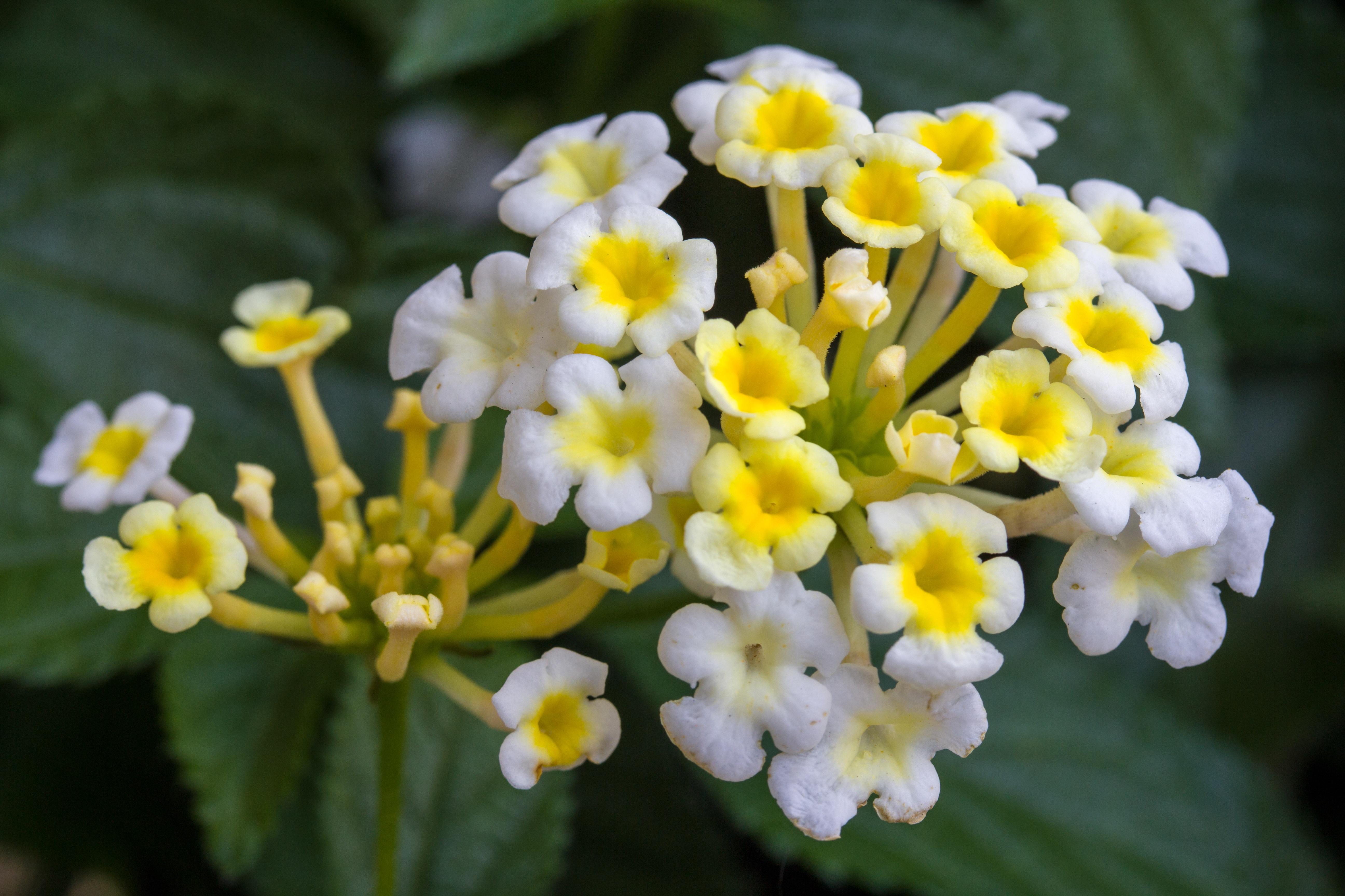 images gratuites : fleur, floraison, herbe, botanique, fermer, flore