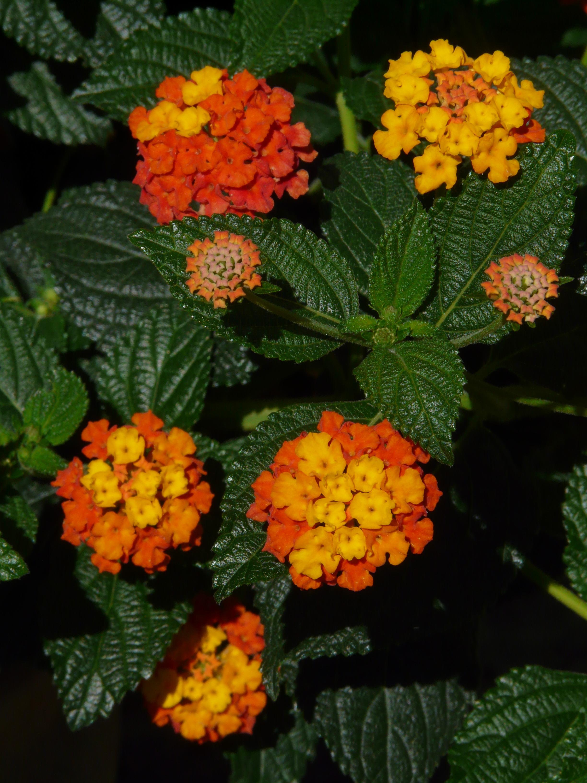 Images Gratuites : fleur, Floraison, herbe, botanique, jaune, jardin ...