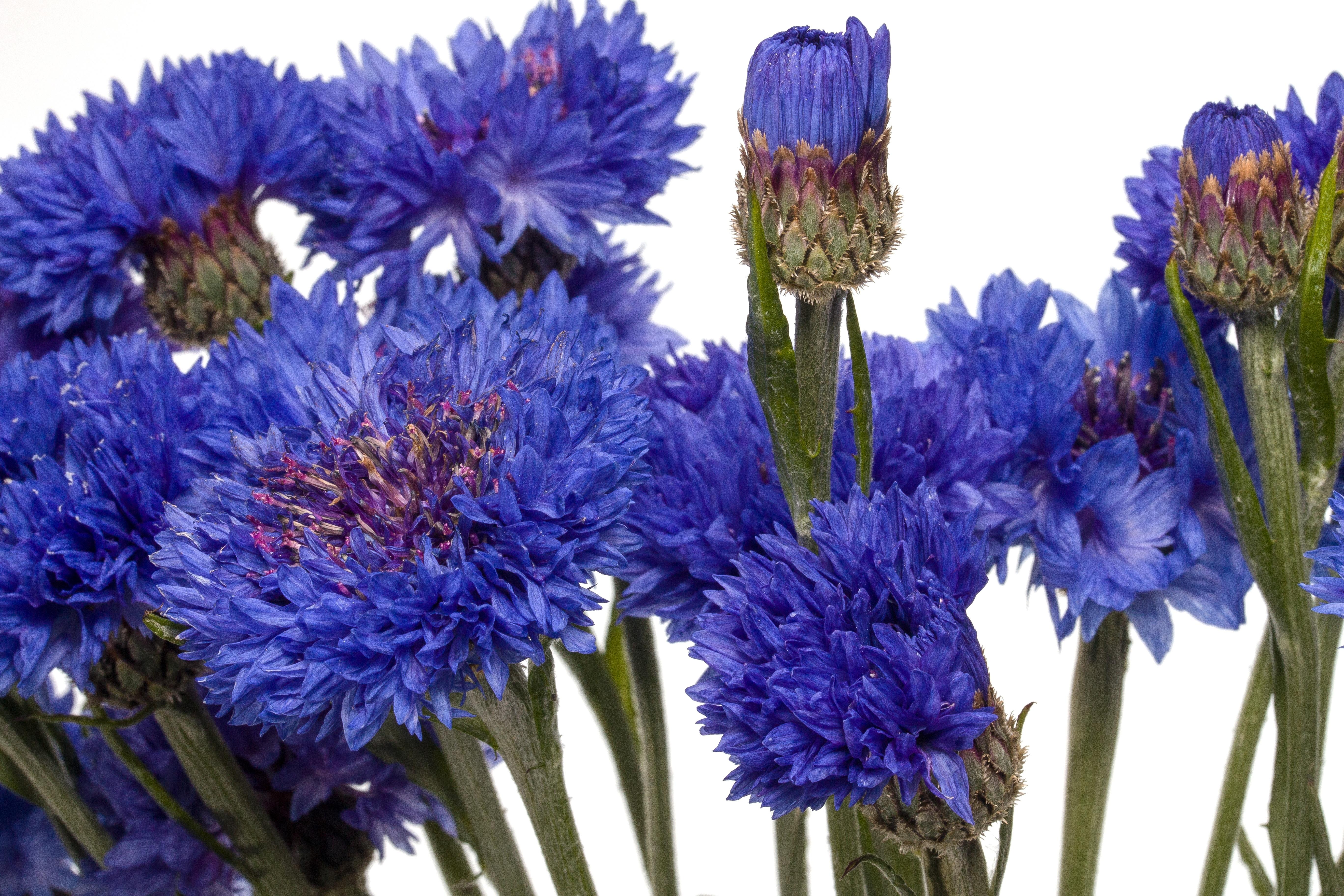 Free Images Blossom Bloom Macro Blue Flower Cornflower