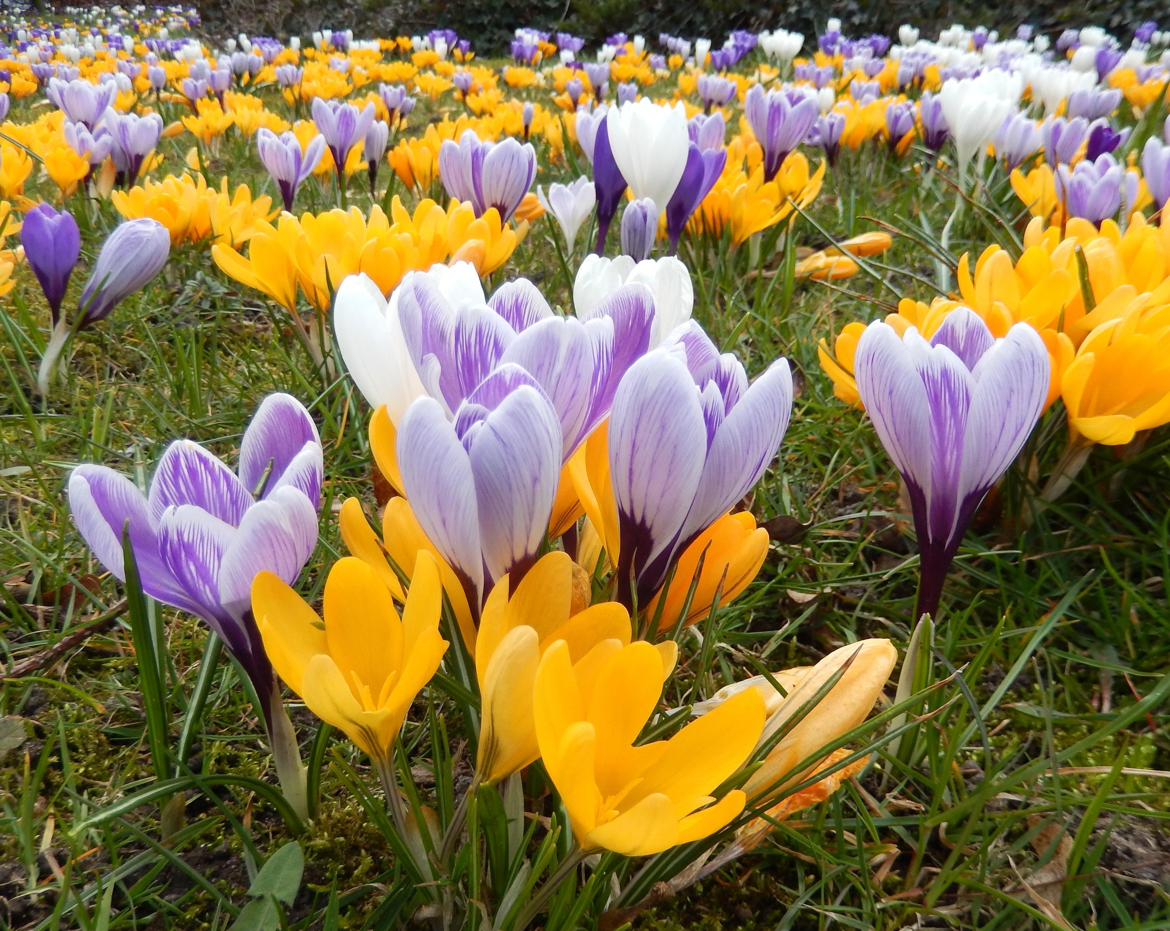 Free Images Blossom Flower Bloom Flora Flowers Harbinger Of