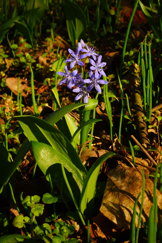 Fleur De Sous Bois Bleue images gratuites : fleur, jungle, botanique, bleu, jardin
