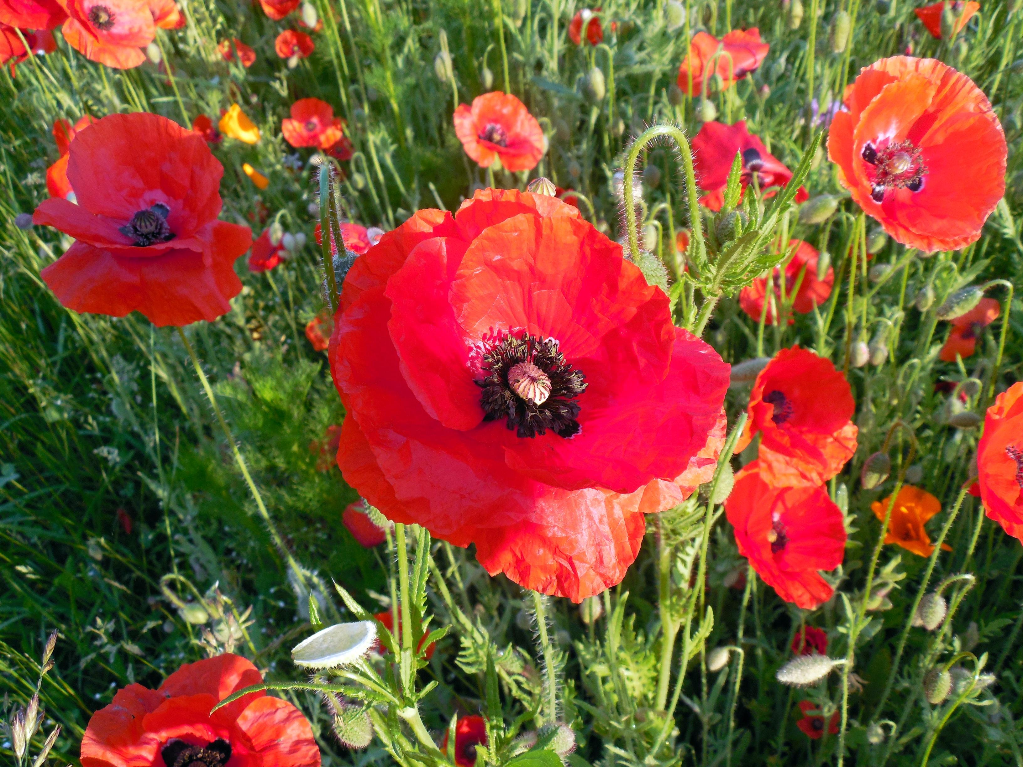 images gratuites fleur floraison t rouge coquelicot coquelicot papaver plante. Black Bedroom Furniture Sets. Home Design Ideas