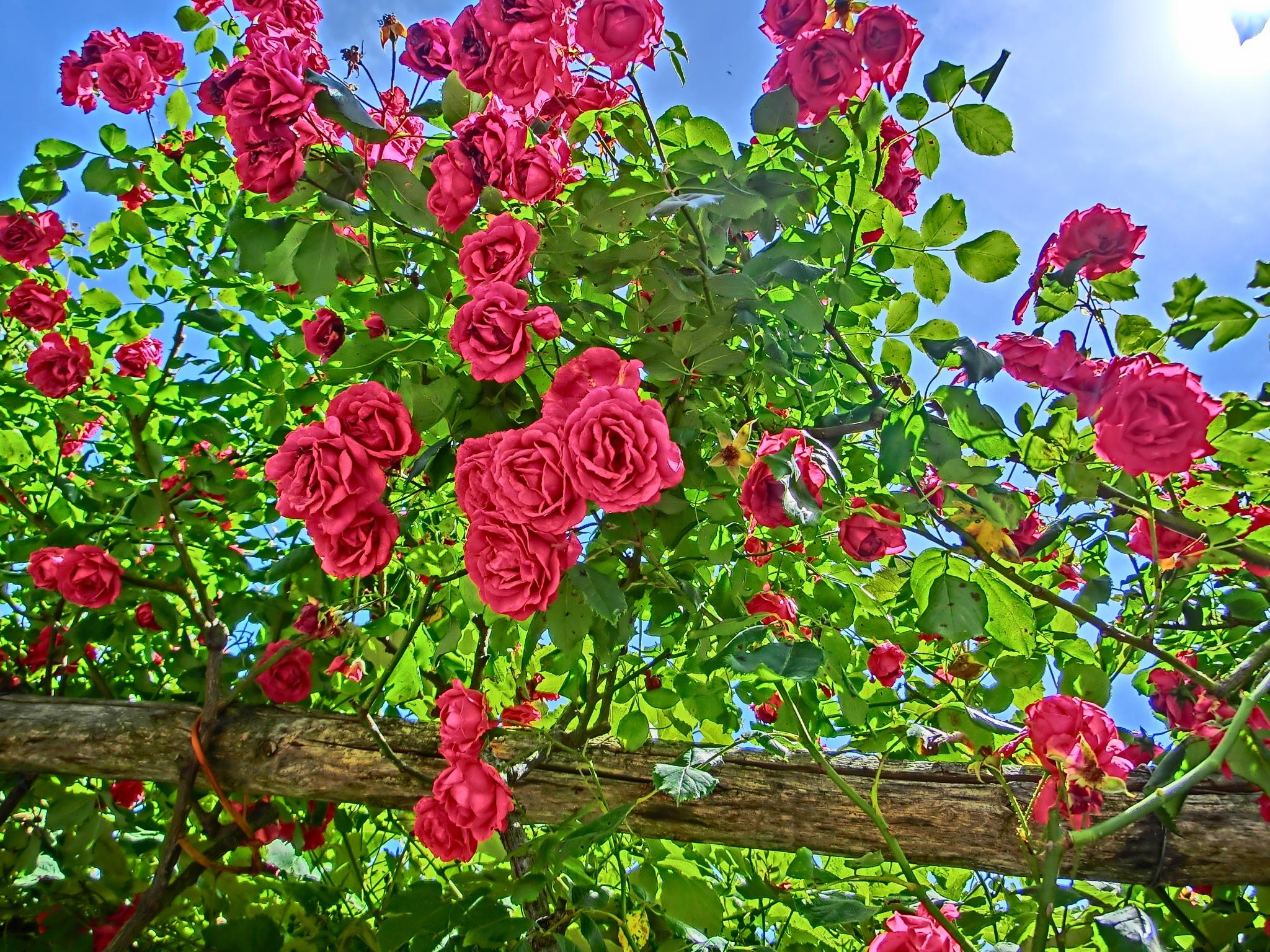 китай розы сады красные картинки отличии более или