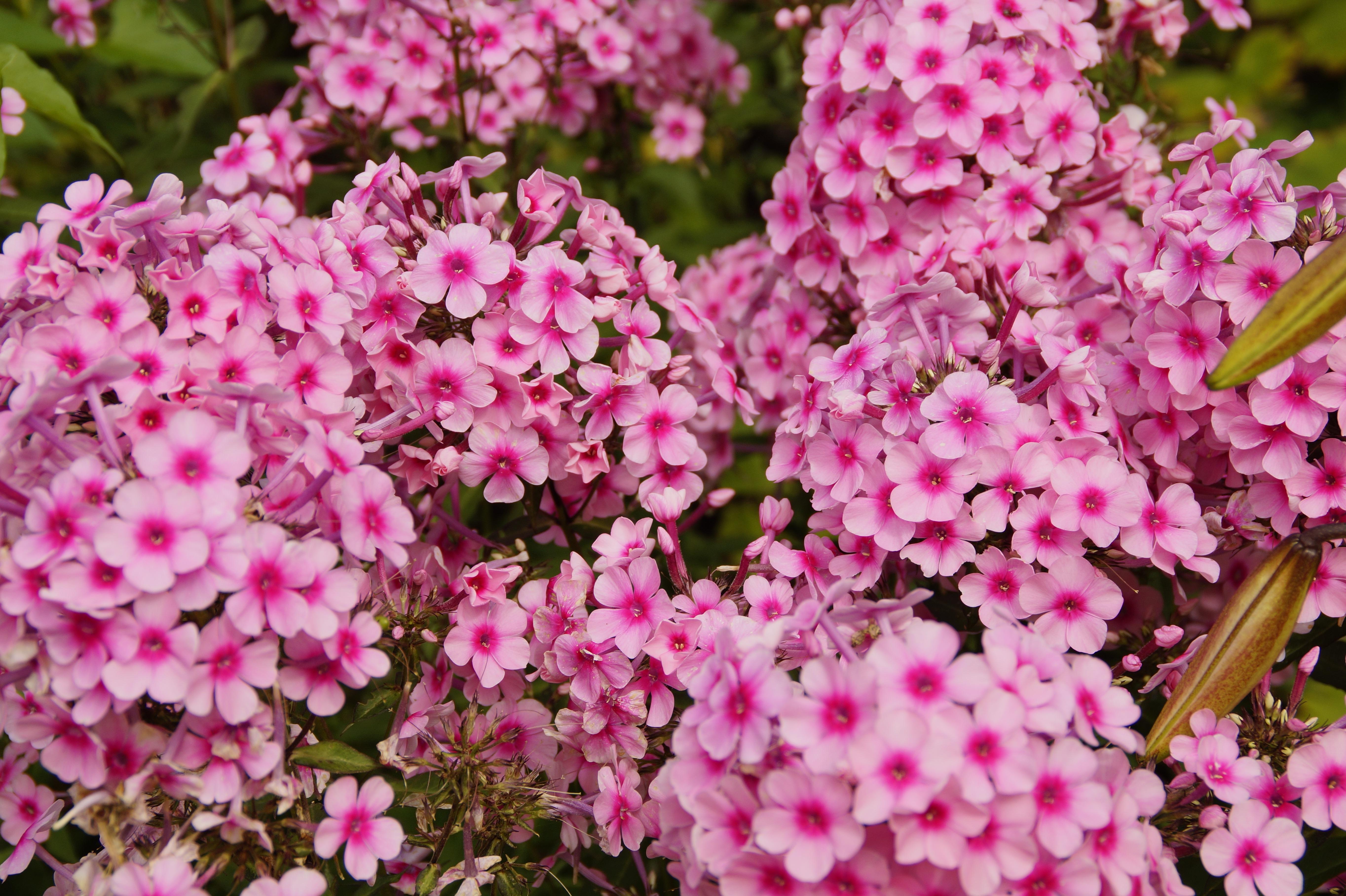 Images Gratuites Botanique Colore Flore Farbenpracht Arbuste