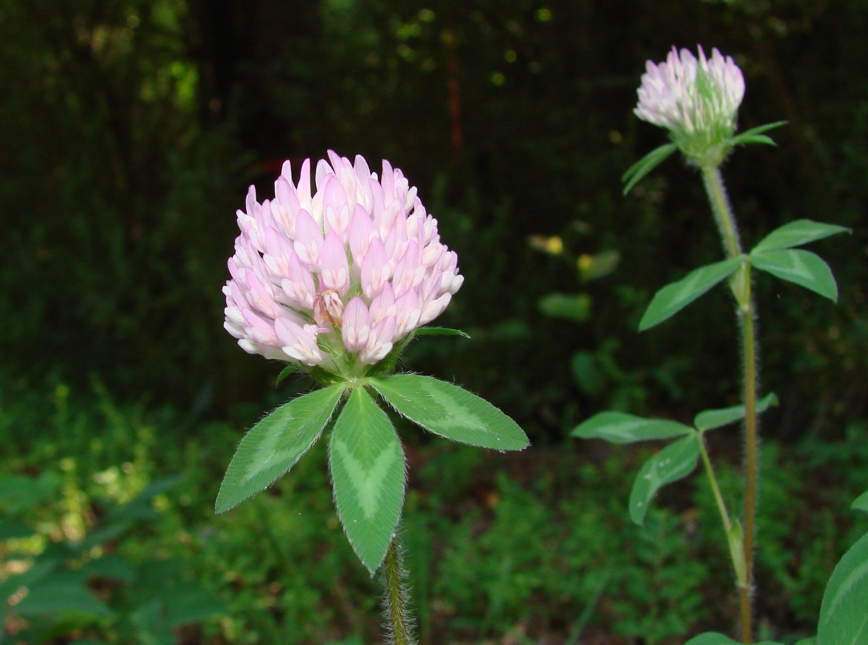Цветок клевер что означает