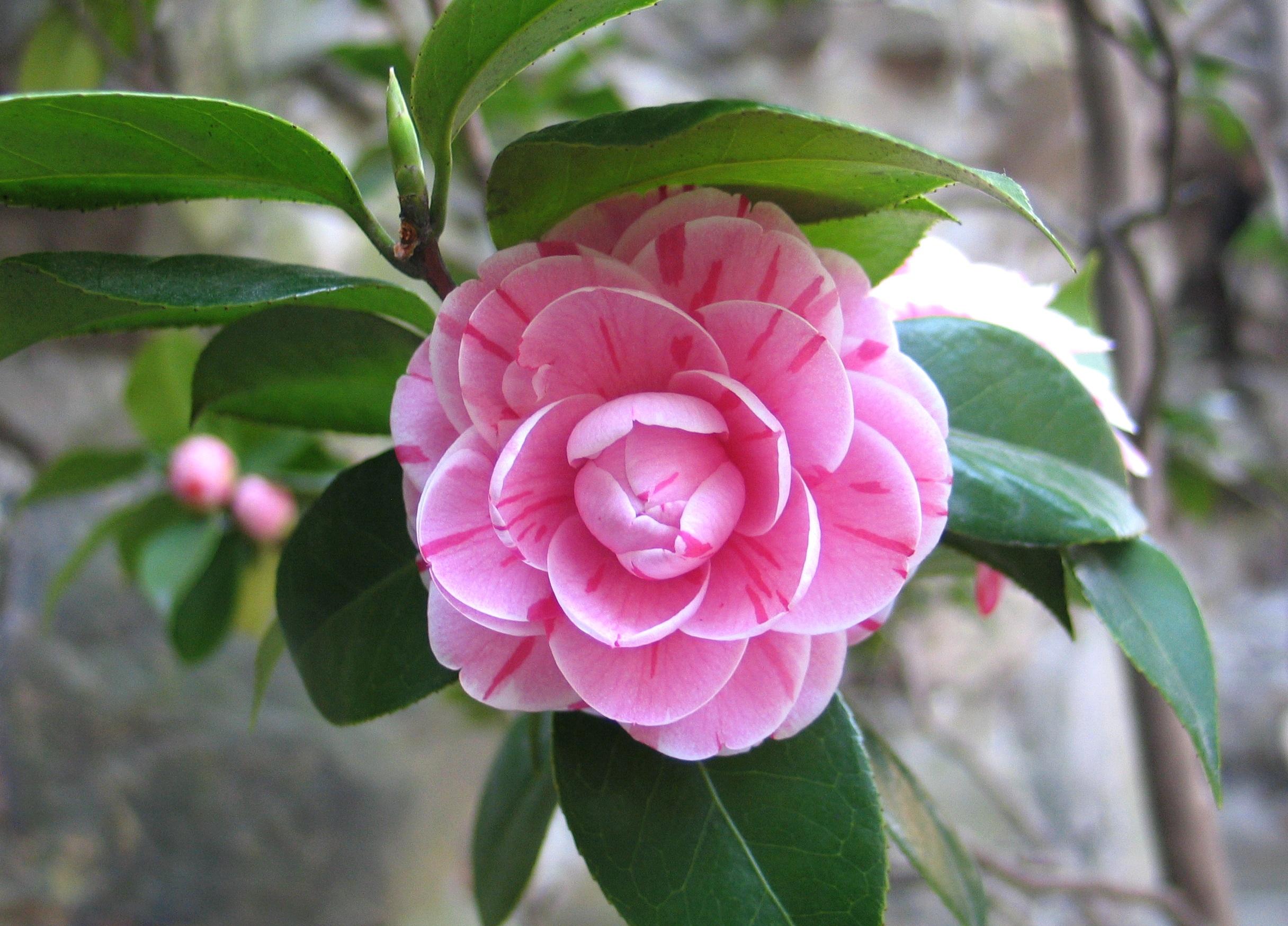 images gratuites fleur botanique flore arbuste chine cam lia les th rapeutes plante. Black Bedroom Furniture Sets. Home Design Ideas