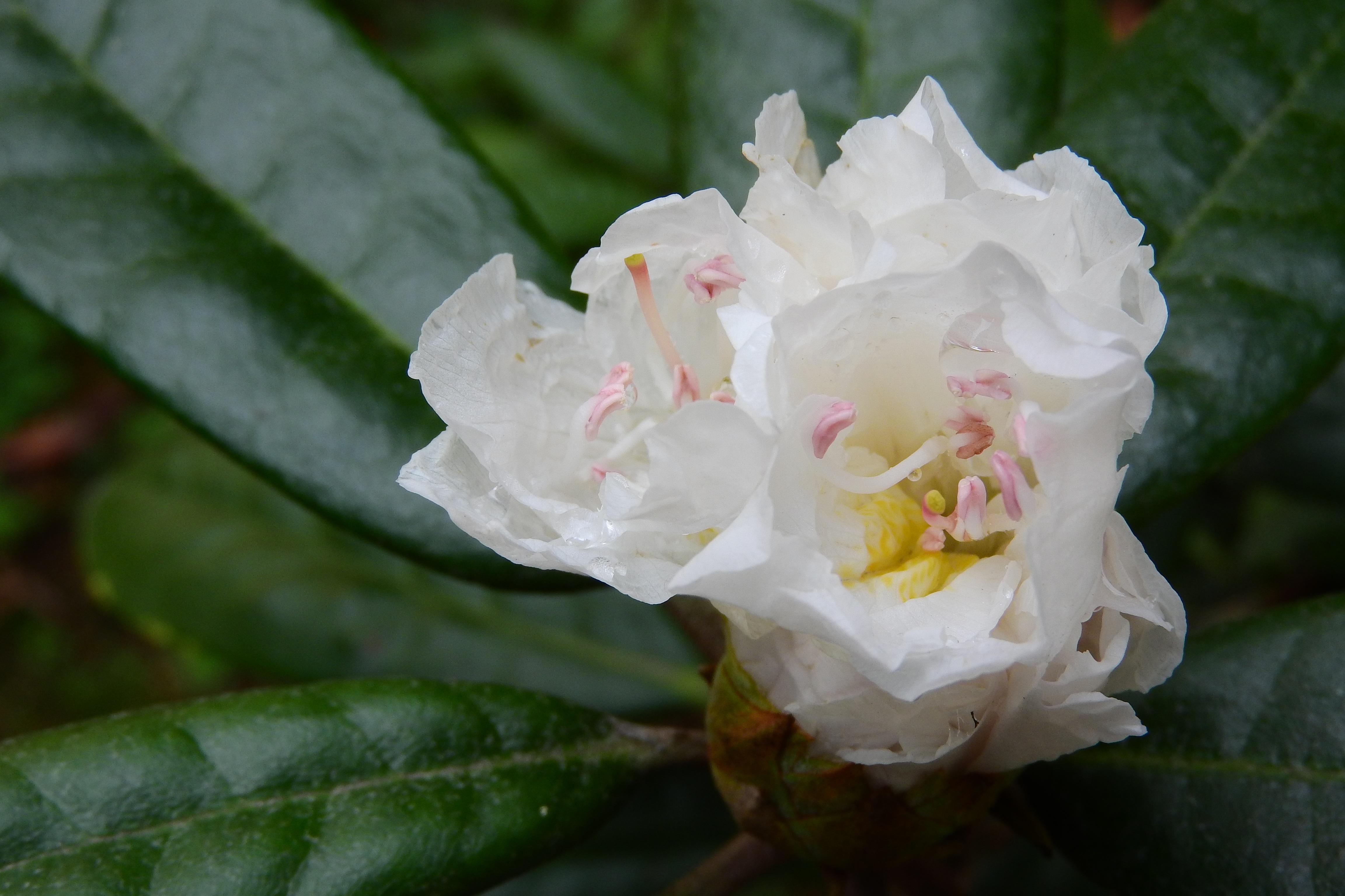 Free Images Blossom Botany Flora White Flower Shrub