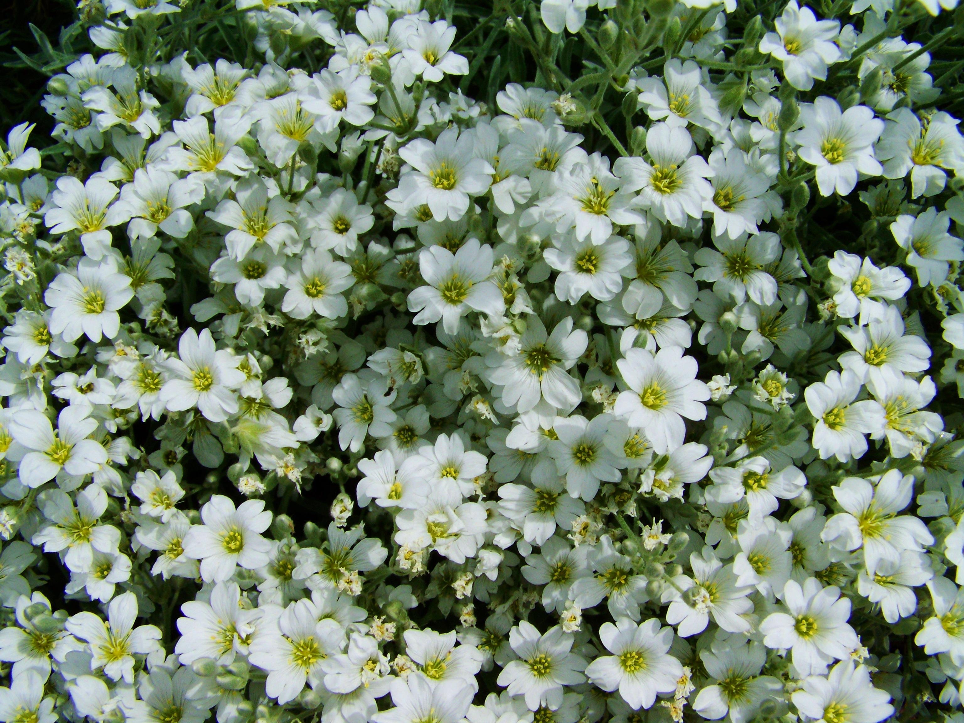 Free Images Blossom Botany Flora Wildflower Shrub Flower