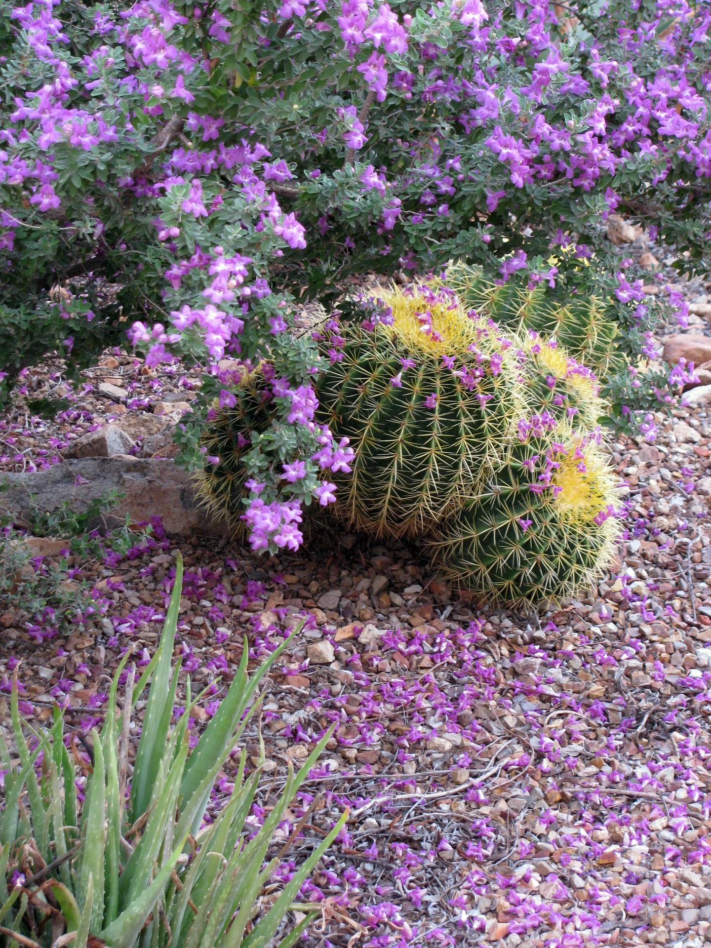 ... ภาษาอังกฤษลาเวนเดอร์ 1440x1920. ดอก ปลูก ดอกไม้ พฤกษศาสตร์ สวน พืช  ลาเวนเดอร์ ดอกไม้ป่า ไม้พุ่ม ออกดอก พืชดอก ทะเลทราย sonoran