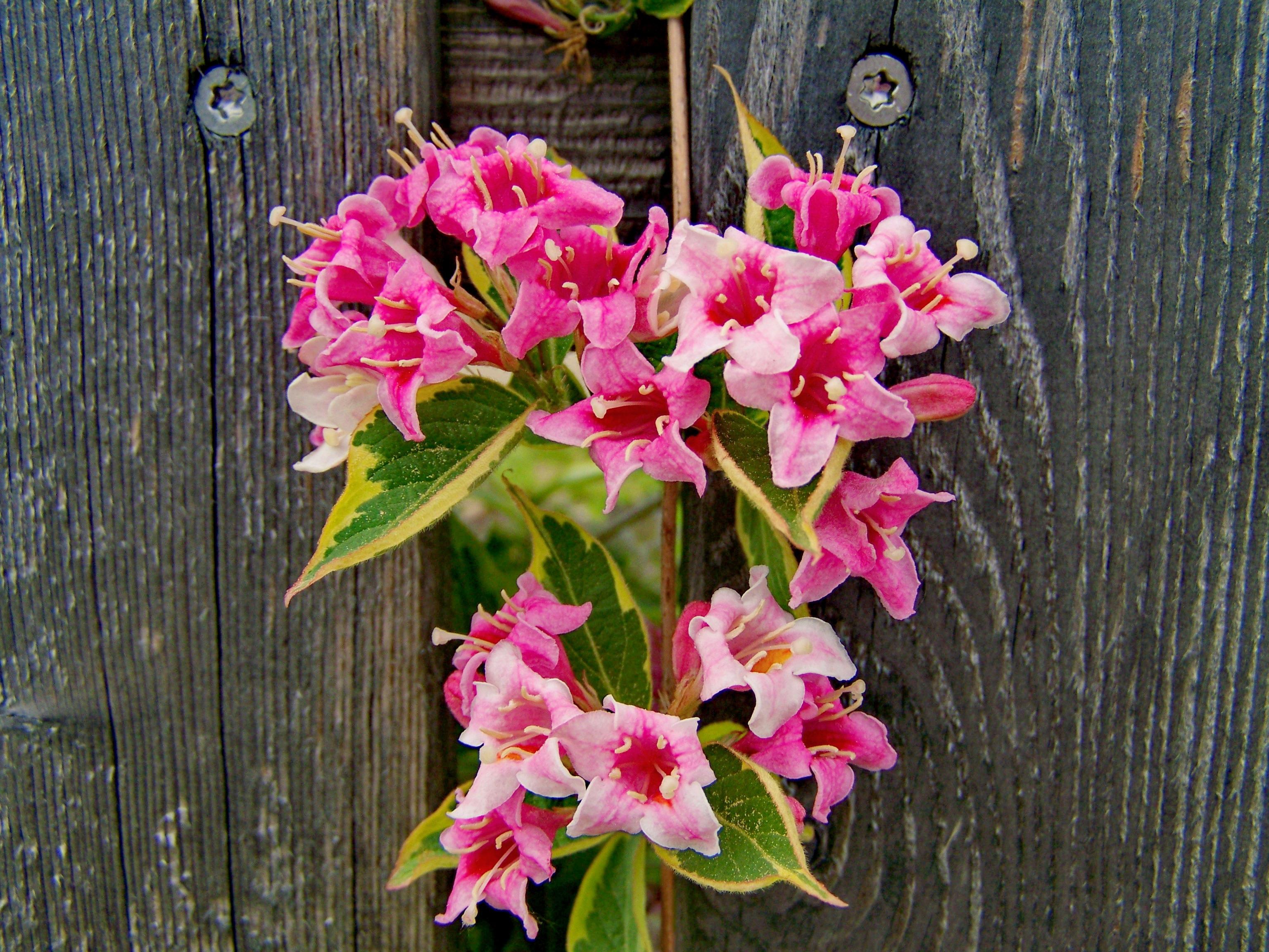 Images Gratuites : fleur, botanique, jardin, rose, flore ...