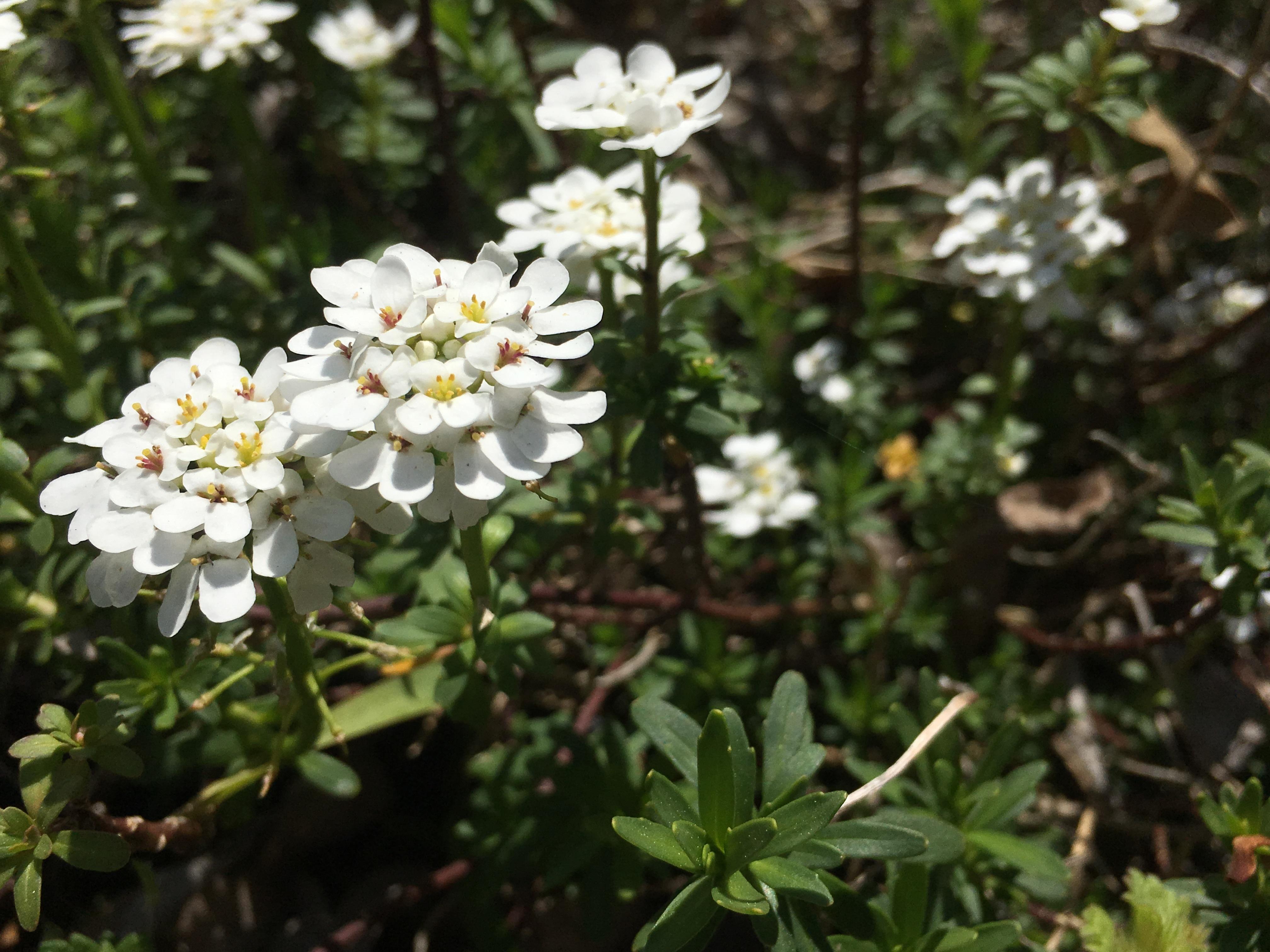 images gratuites : fleur, herbe, botanique, flore, fleur sauvage
