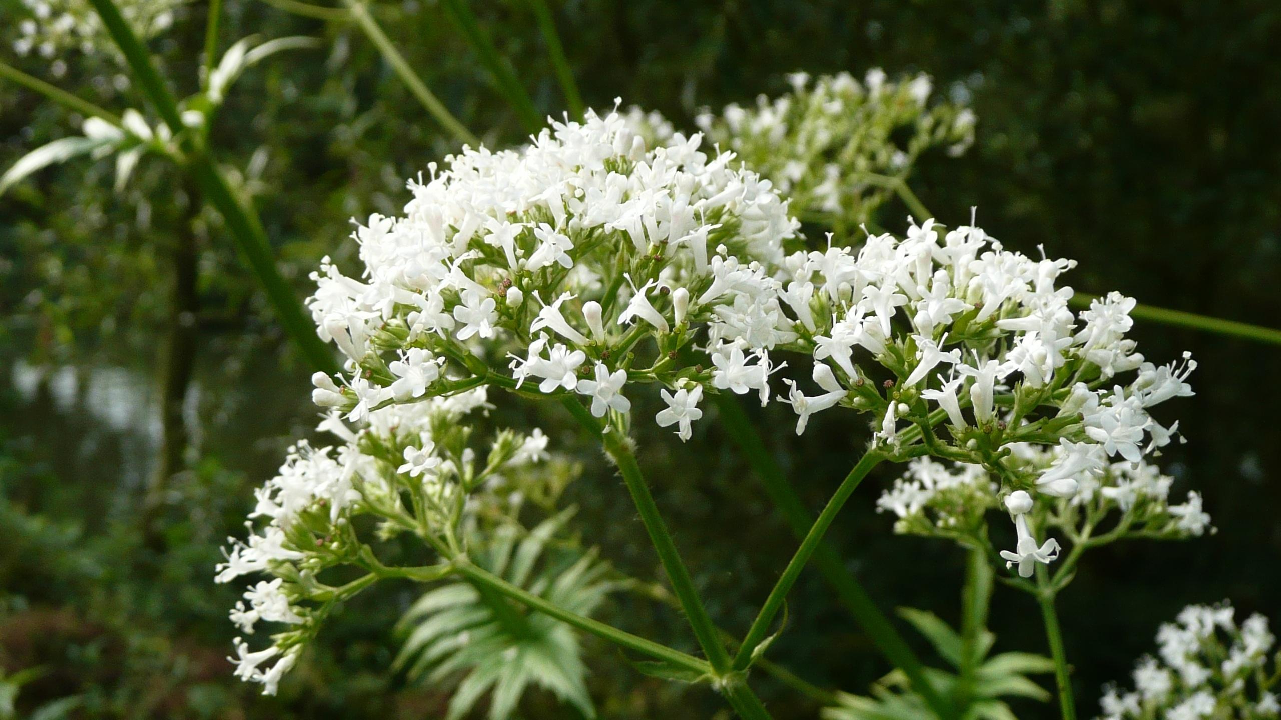 Gratuites fleur herbe Macro botanique flore Fleur