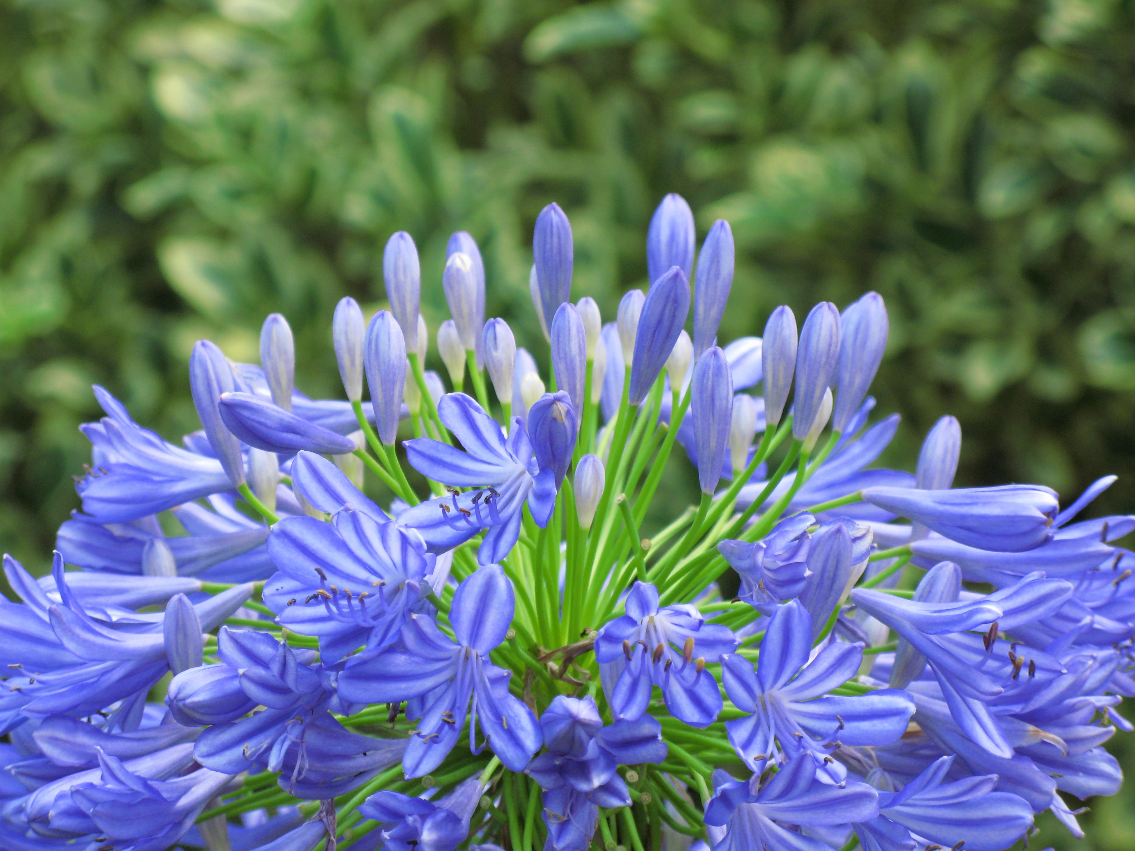 Free Images Blossom Flower High Herb Produce Botany Blue