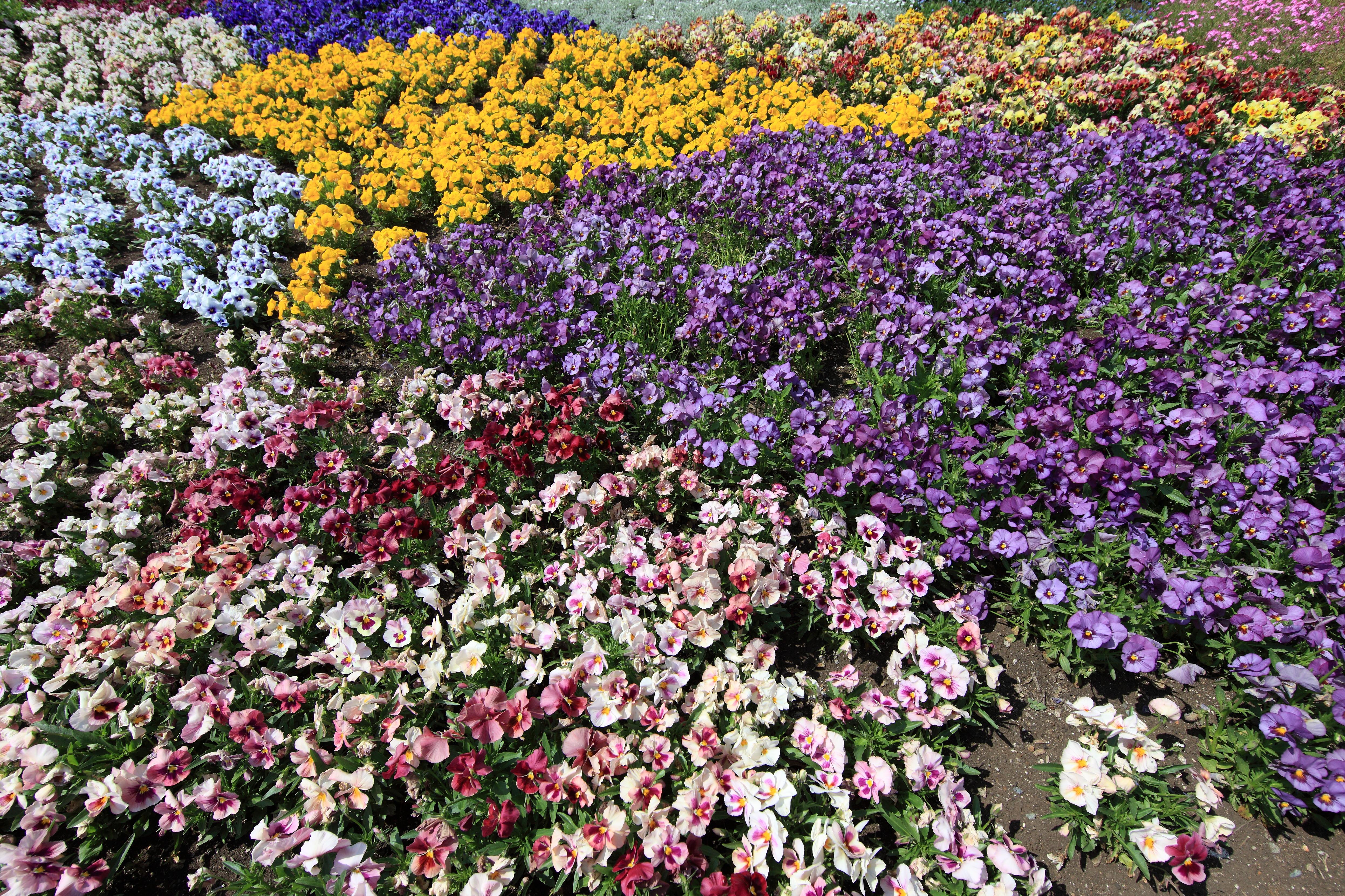 Poze : inflori, floare, model, înalt, floră, flori sălbatice, fundal ...