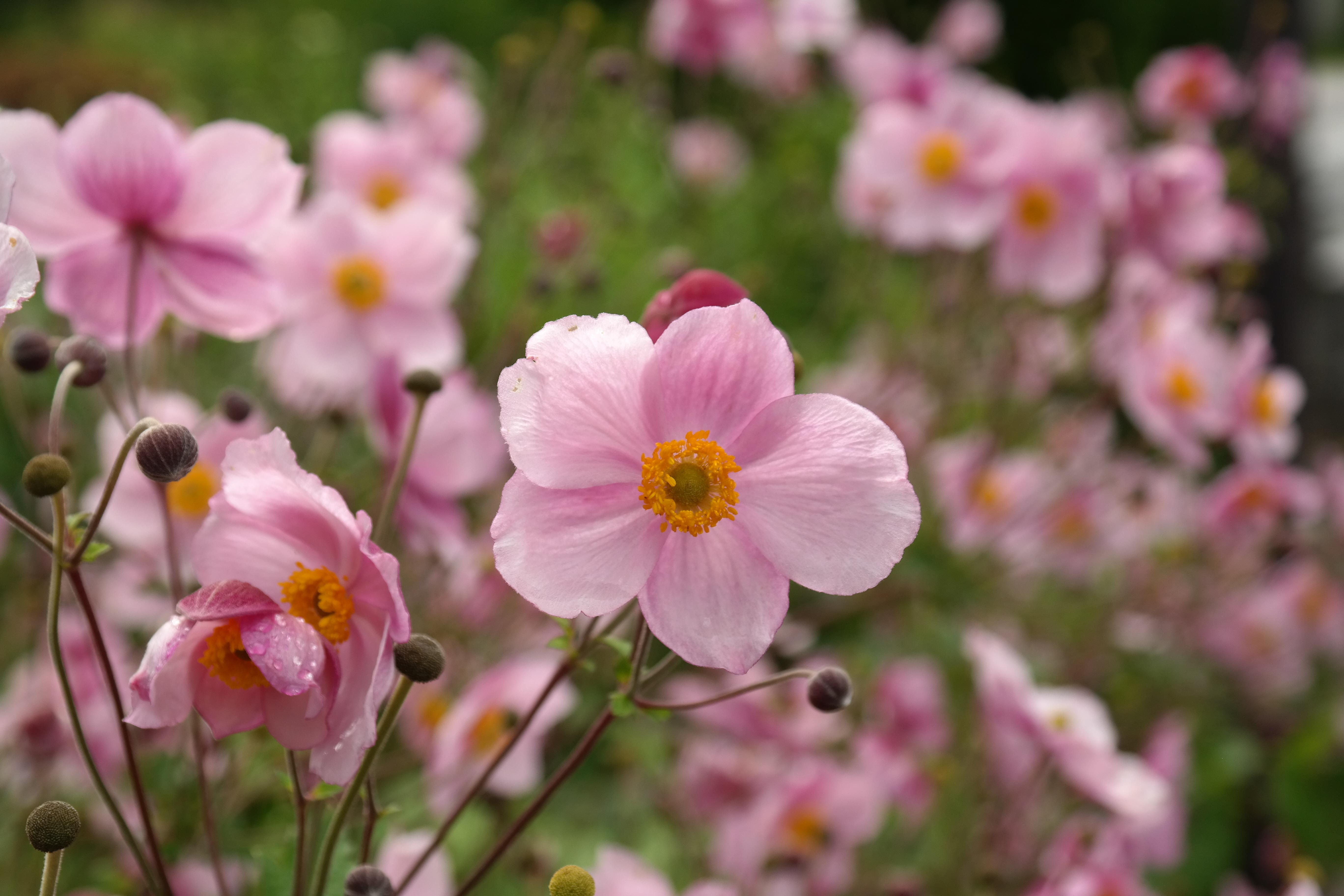 Fotos Gratis Petalo Florecer Botanica Rosado Flora Flor