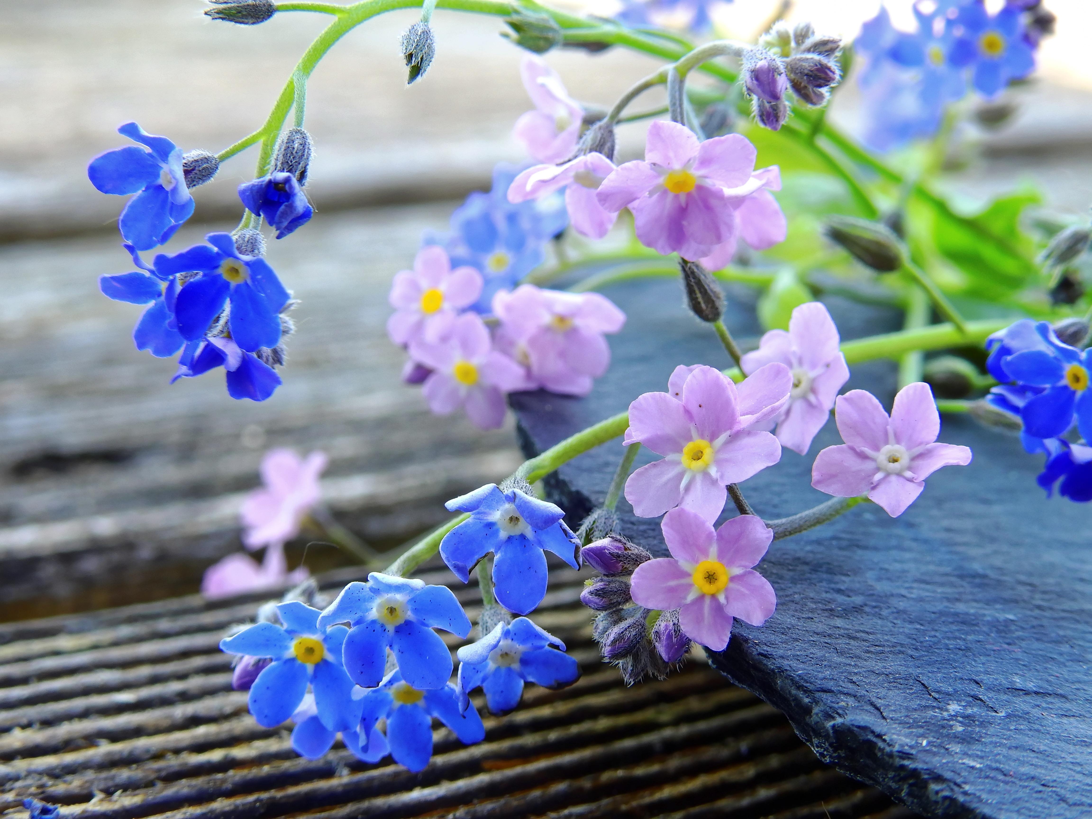 Free Images Blossom Petal Bloom Blue Pink Flora Wildflower