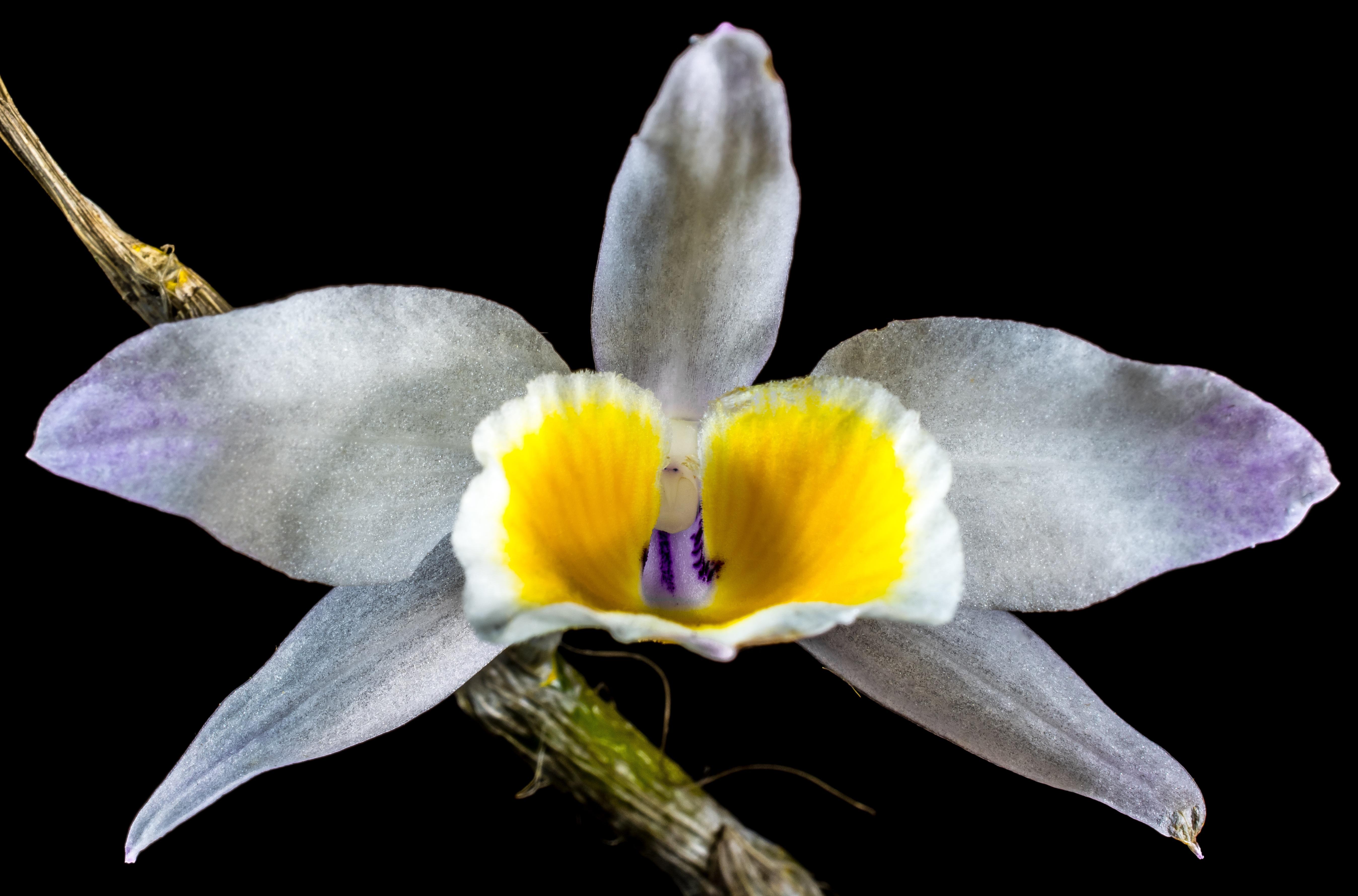 orchidee sauvage floraison