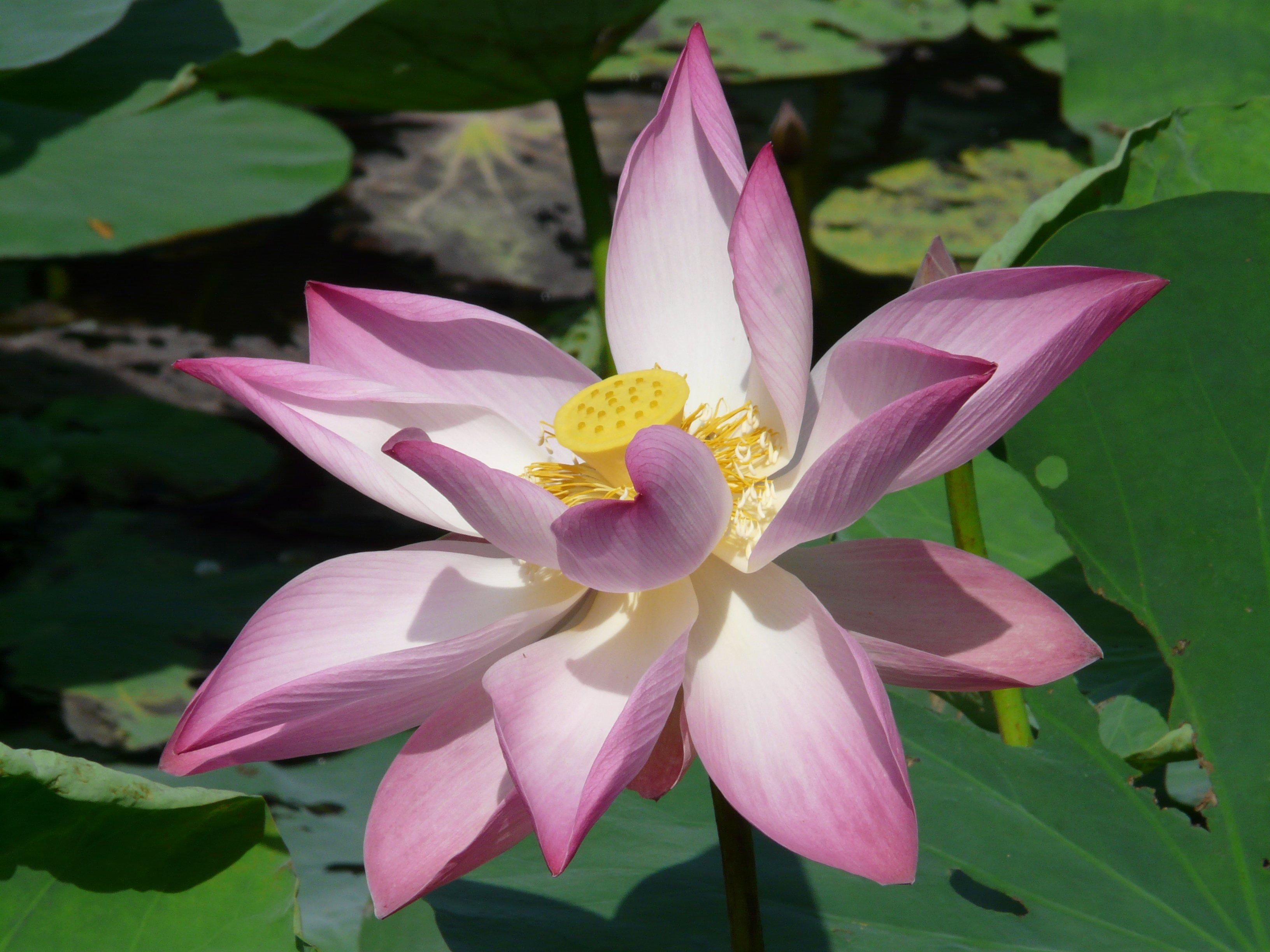 Free Images Flower Petal Bloom Botany Nelumbo Nucifera Indian