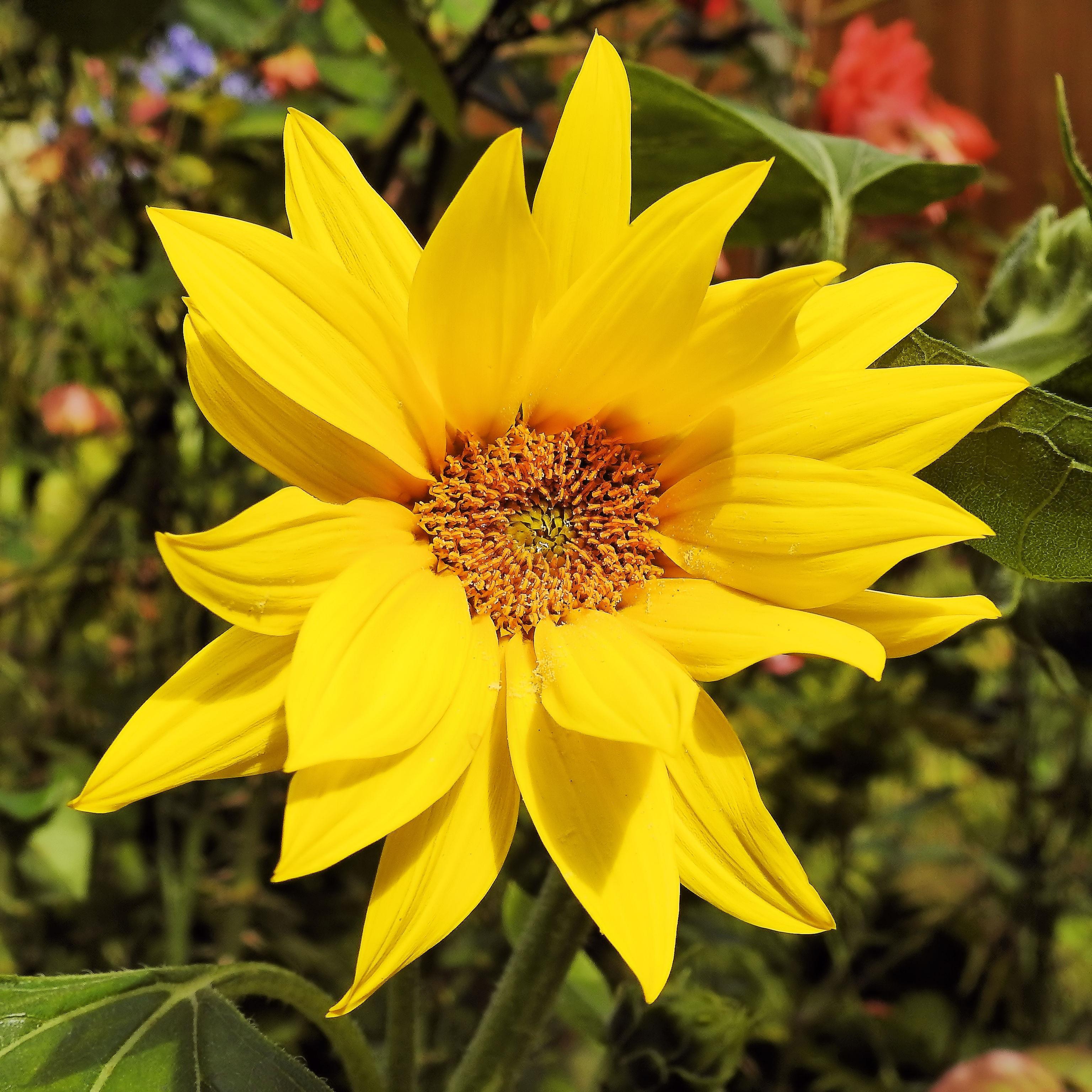 images gratuites : fleur, pétale, floraison, botanique, jaune