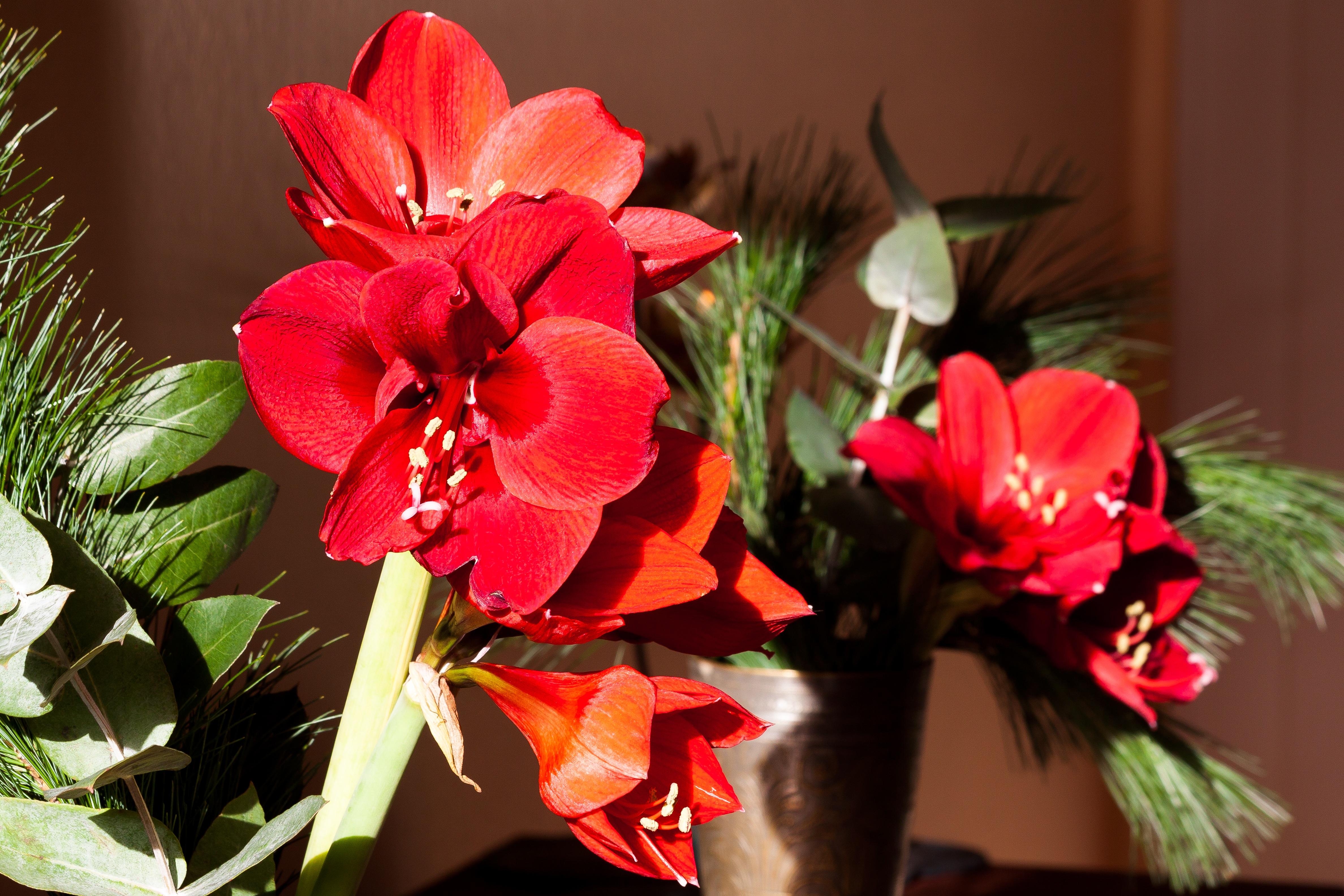 Fotos gratis flor p talo florecer rojo bot nica for Amaryllis fleuriste