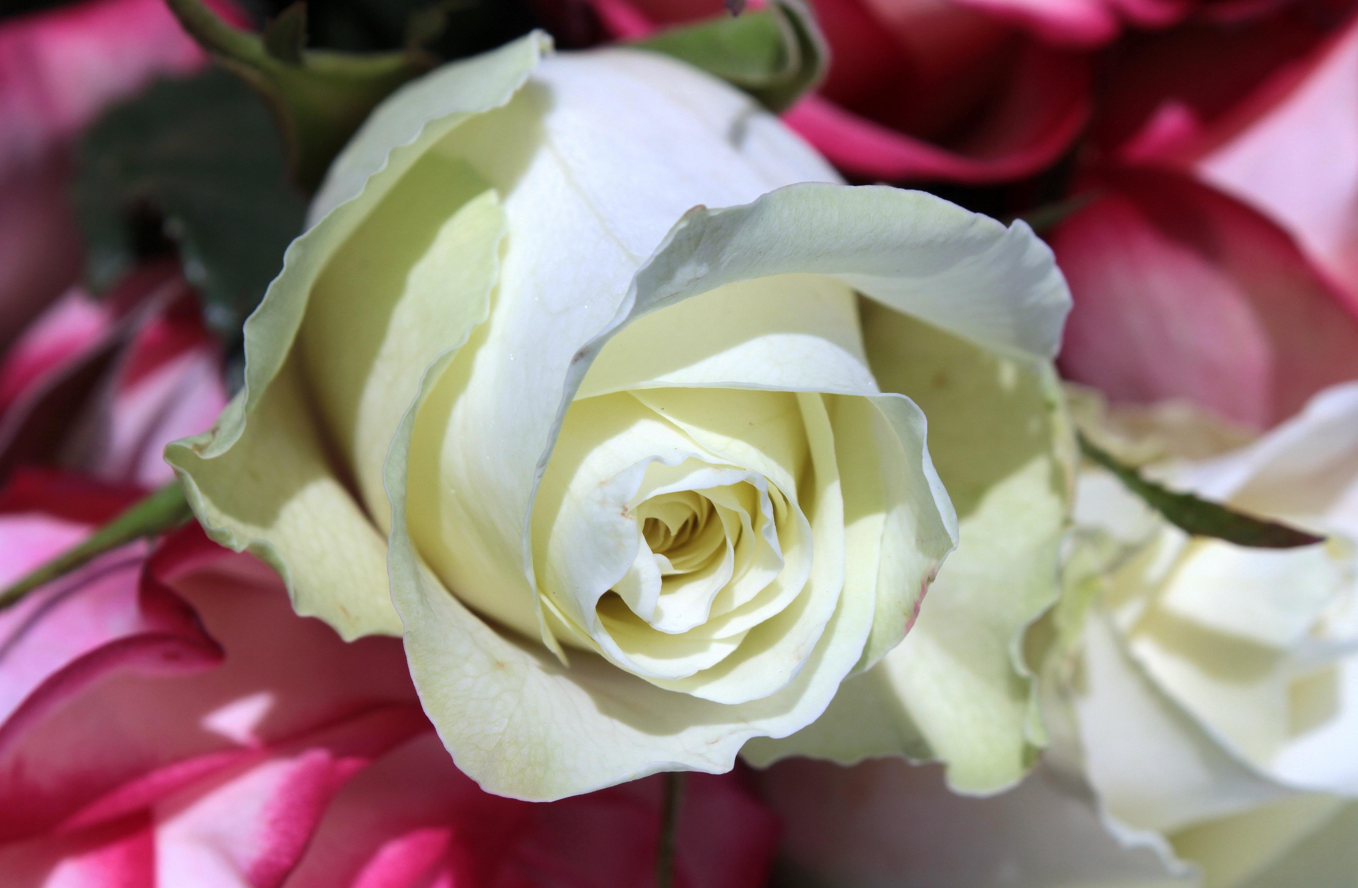 Images Gratuites Fleur Petale Floraison Romantique Flore