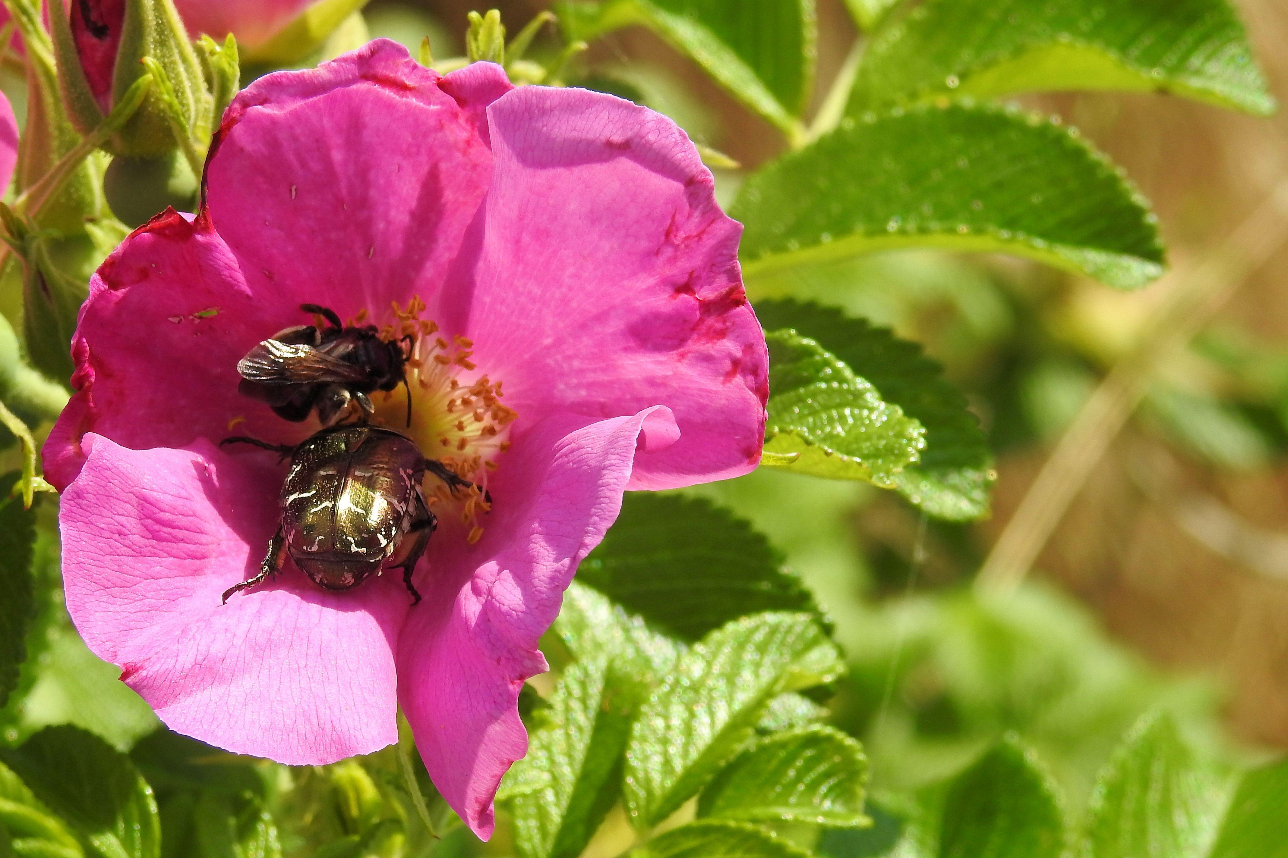 images gratuites : fleur, pétale, floraison, buisson, insecte