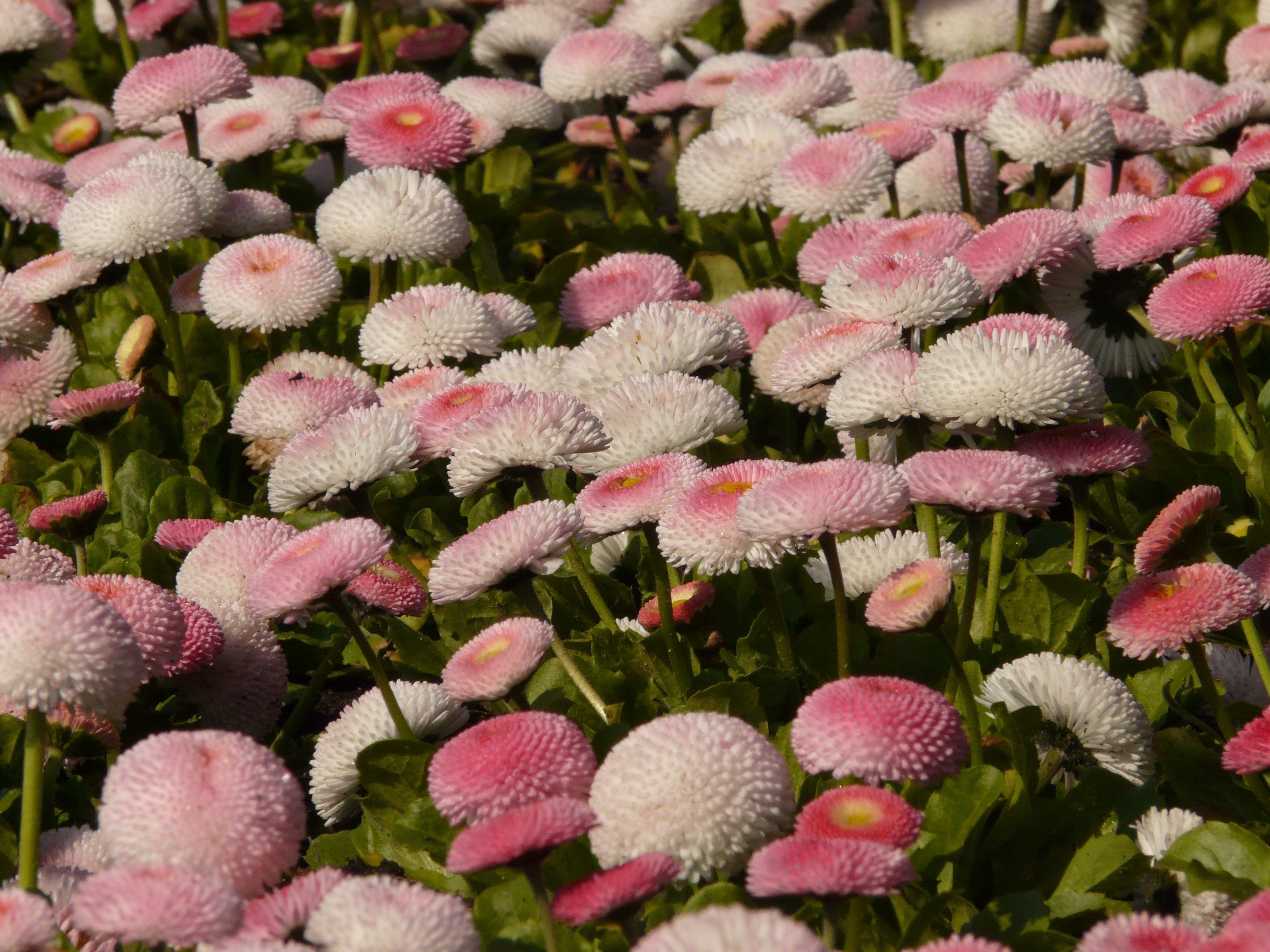 маргаритка весна красна фото вариант знаменит