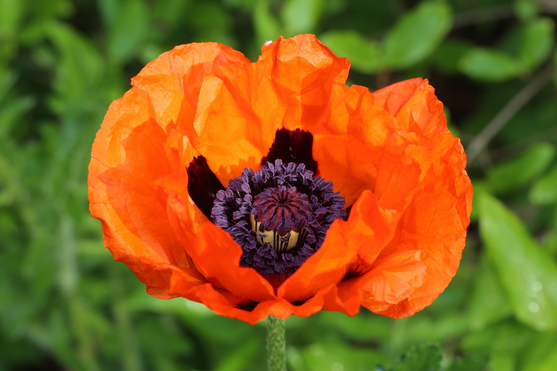 Free Images Blossom Petal Bloom Flora Wildflower Klatschmohn