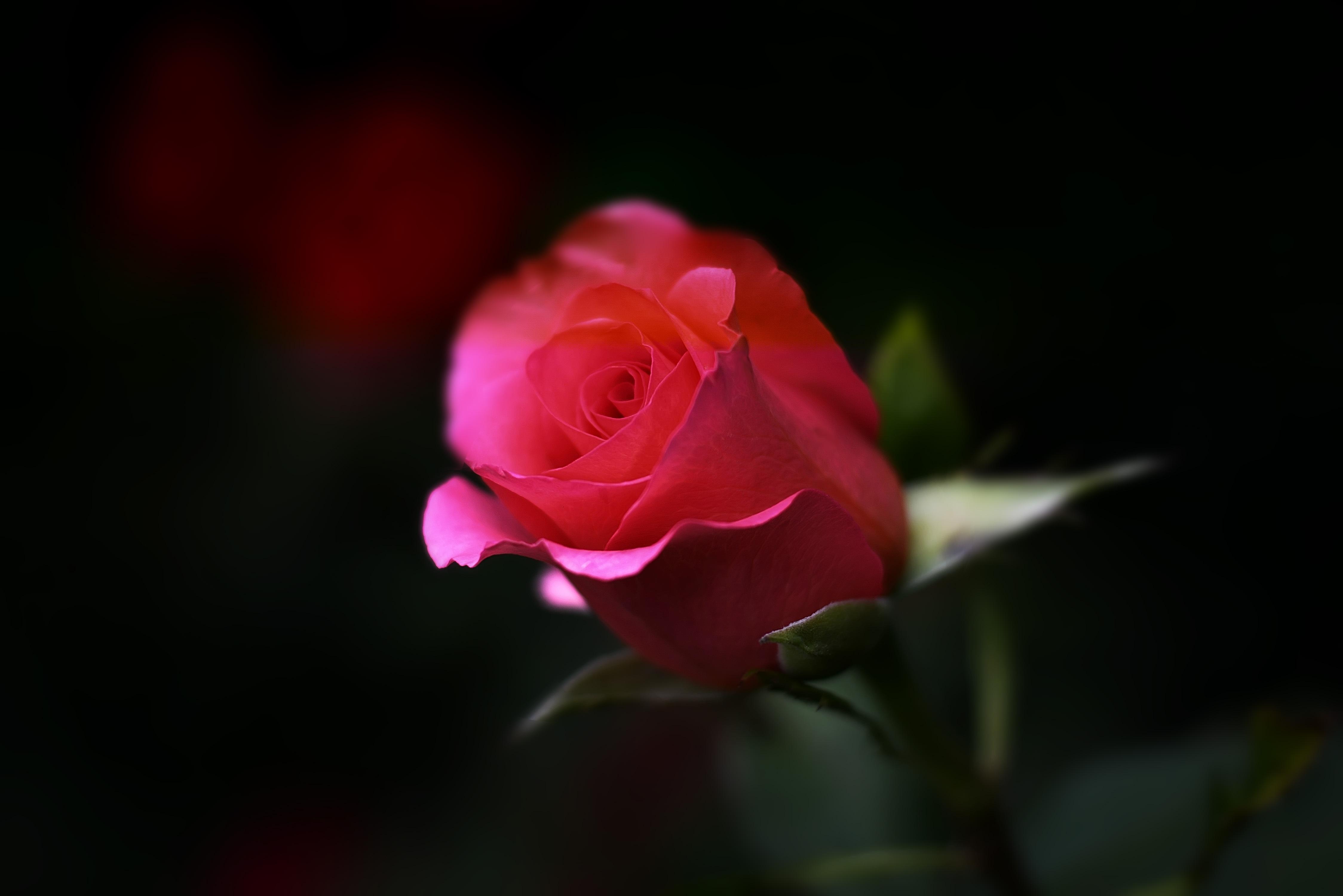 Free Images Blossom Flower Petal Bloom Floral Red Color