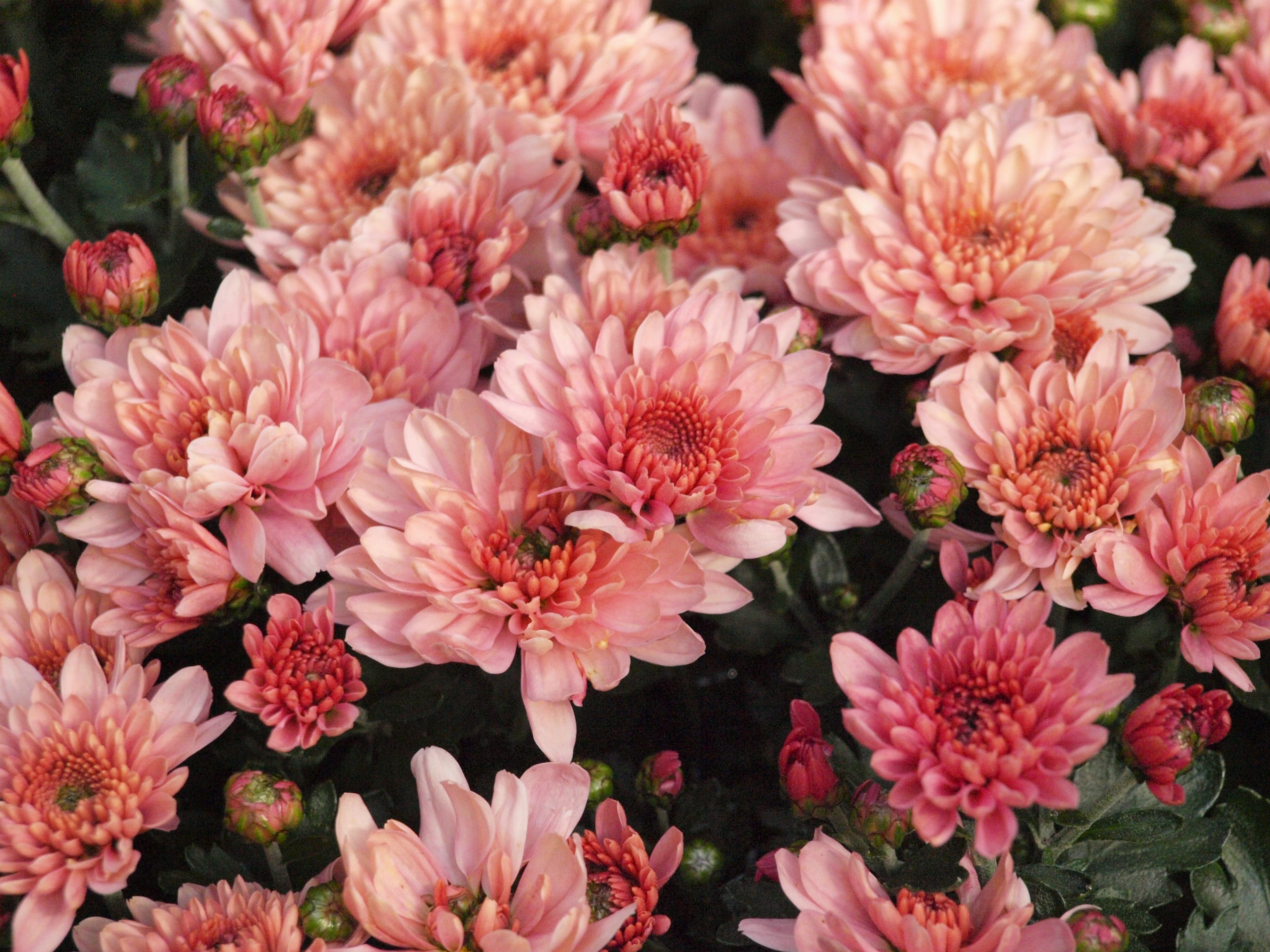 Free Images Blossom Petal Bloom Garden Pink Dahlia Floristry