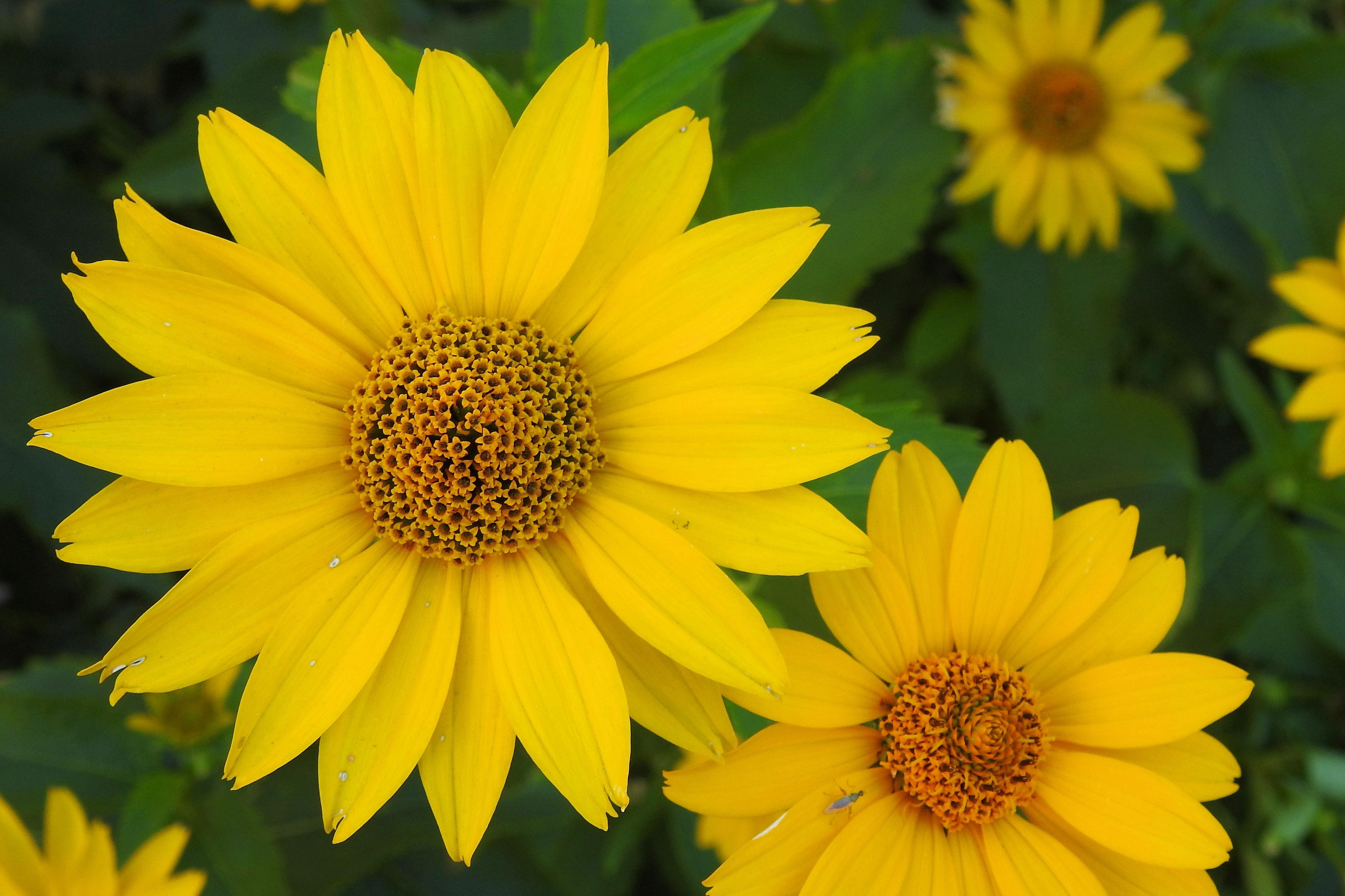 images gratuites fleur p tale floraison herbe jaune. Black Bedroom Furniture Sets. Home Design Ideas