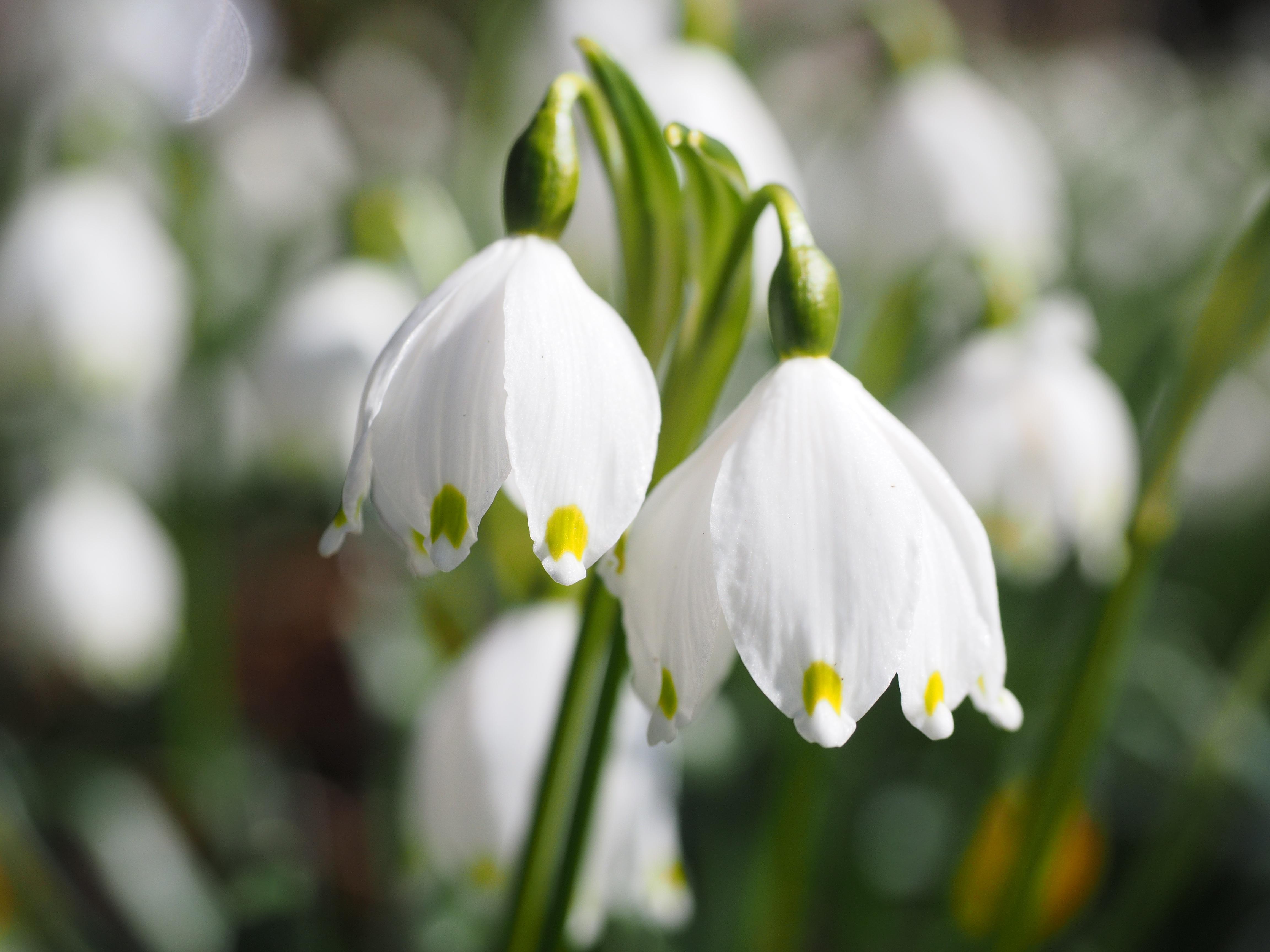 Blumen im märz  Kostenlose foto : blühen, Blume, Blütenblatt, idyllisch, Grün ...