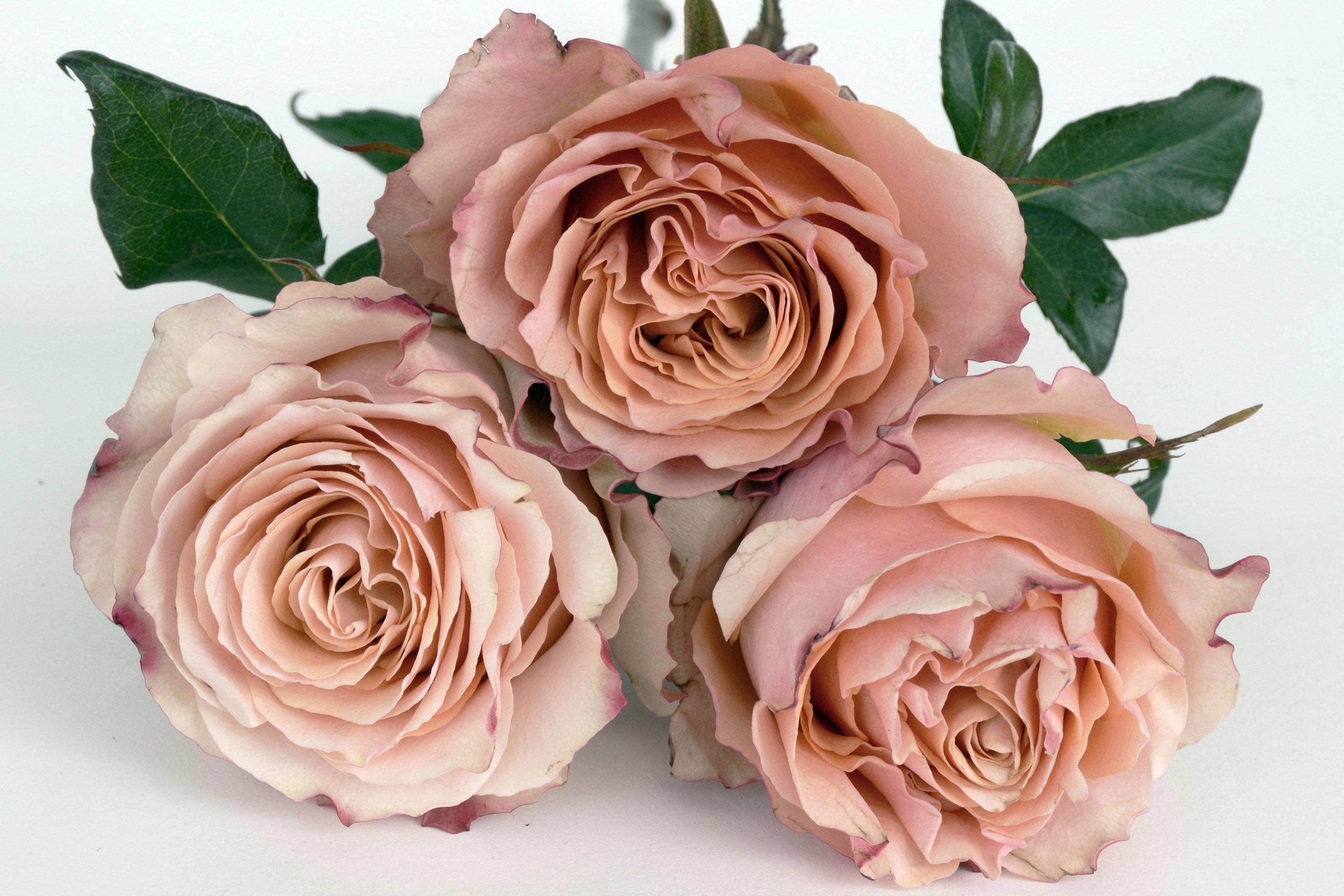 основа складывается розы цвета лосося фото том