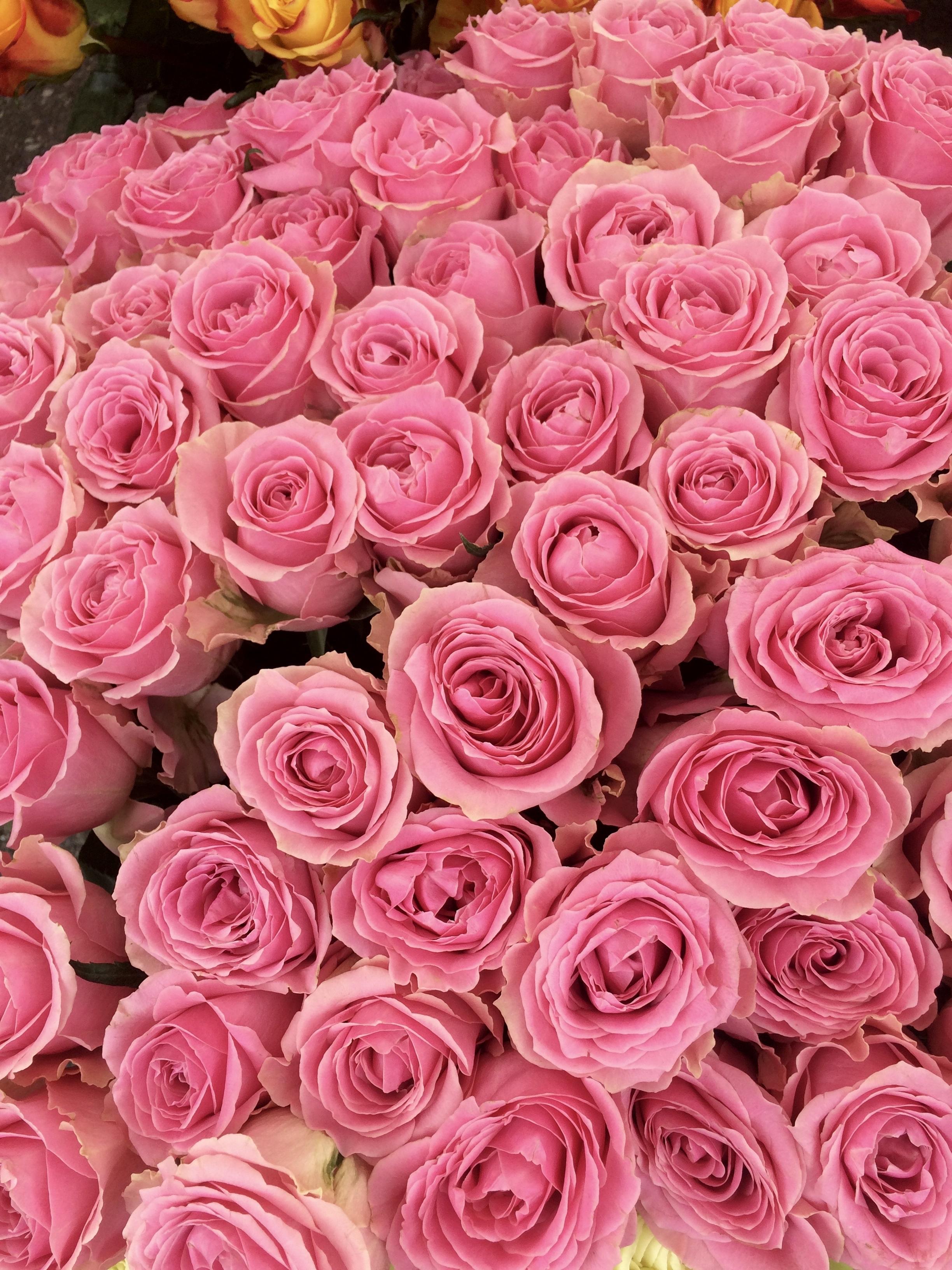 картинки розы розового цвета это