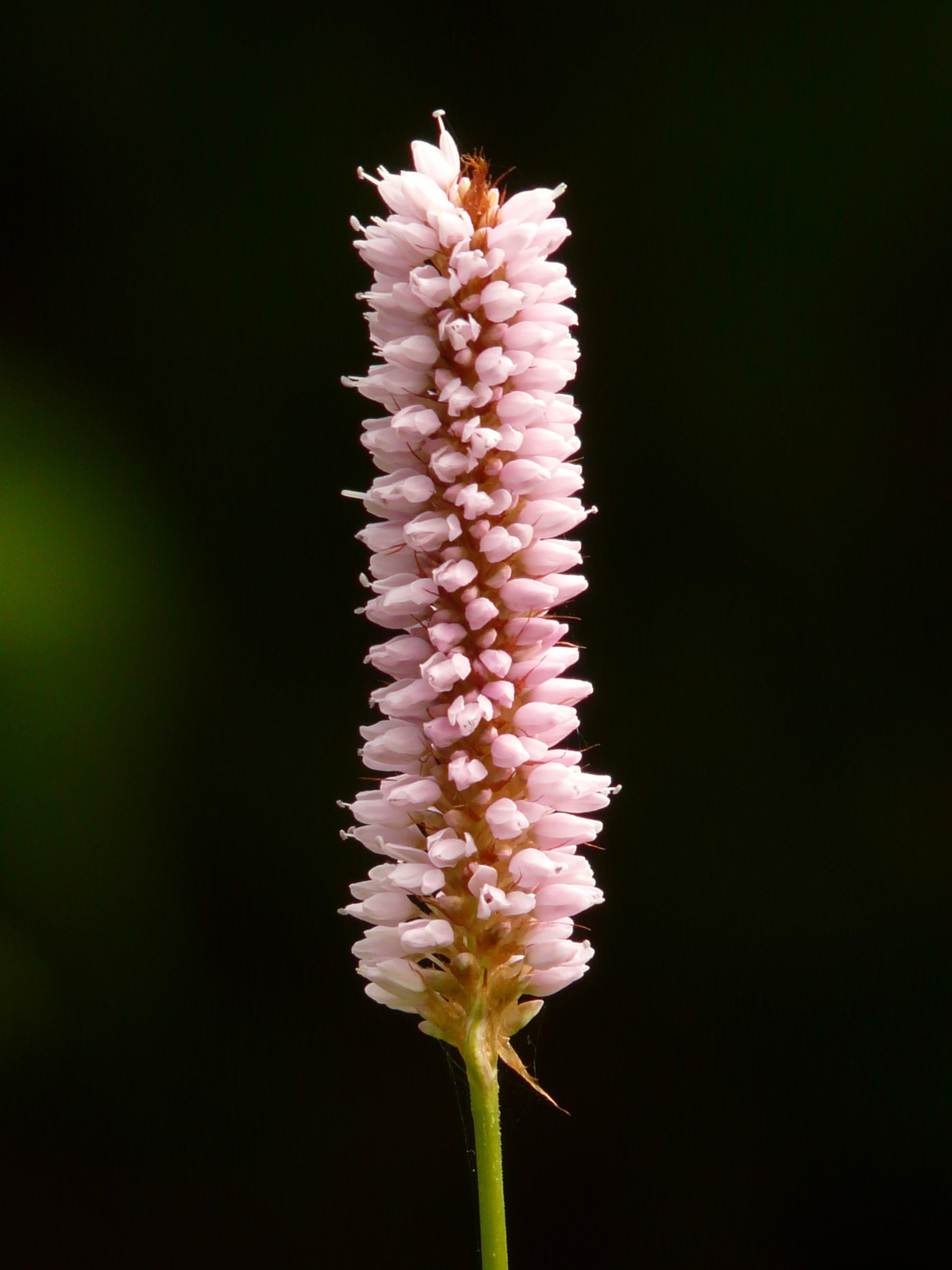 расселены соцветия фото и названия кайтганида
