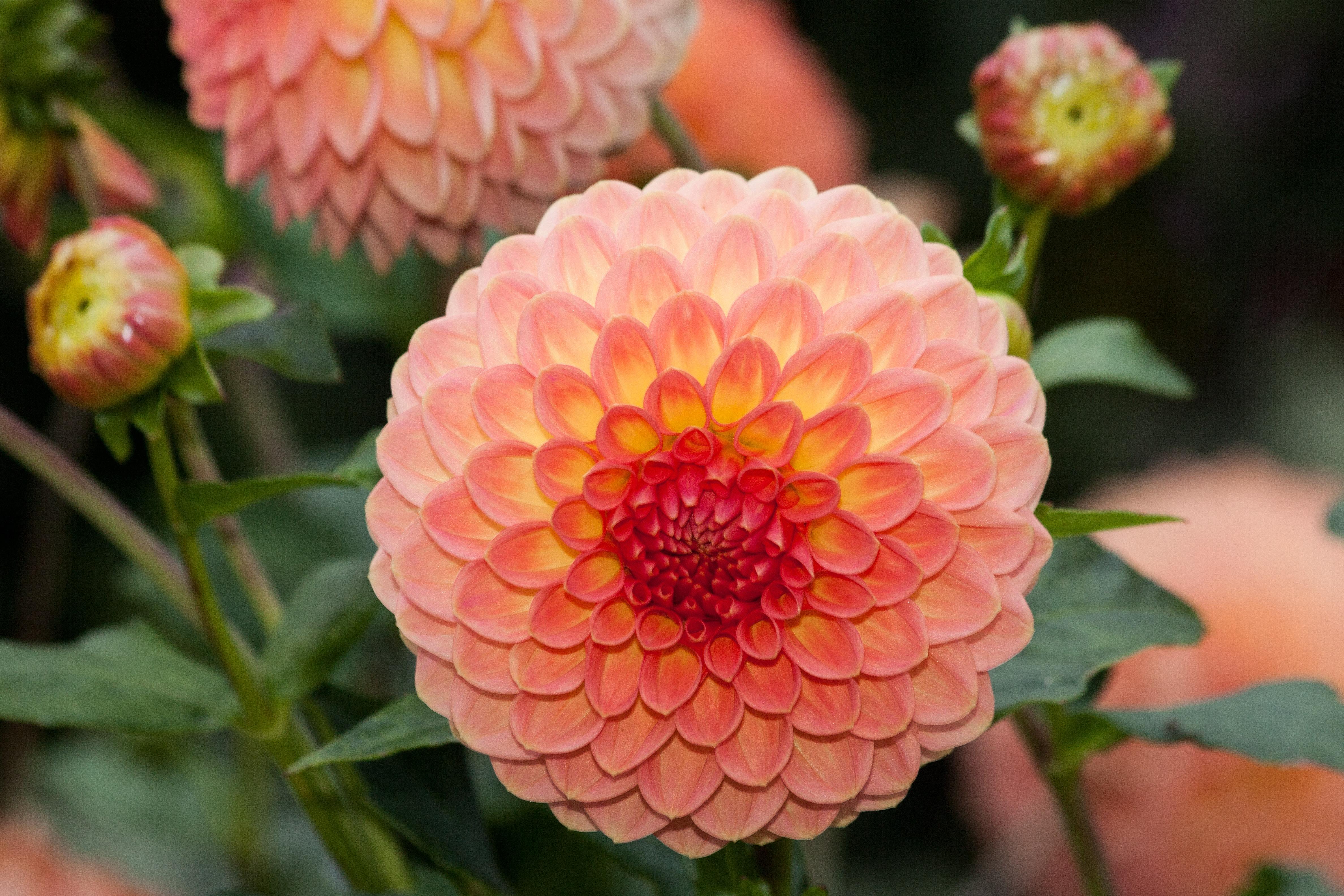 images gratuites : fleur, pétale, floraison, orange, l'automne