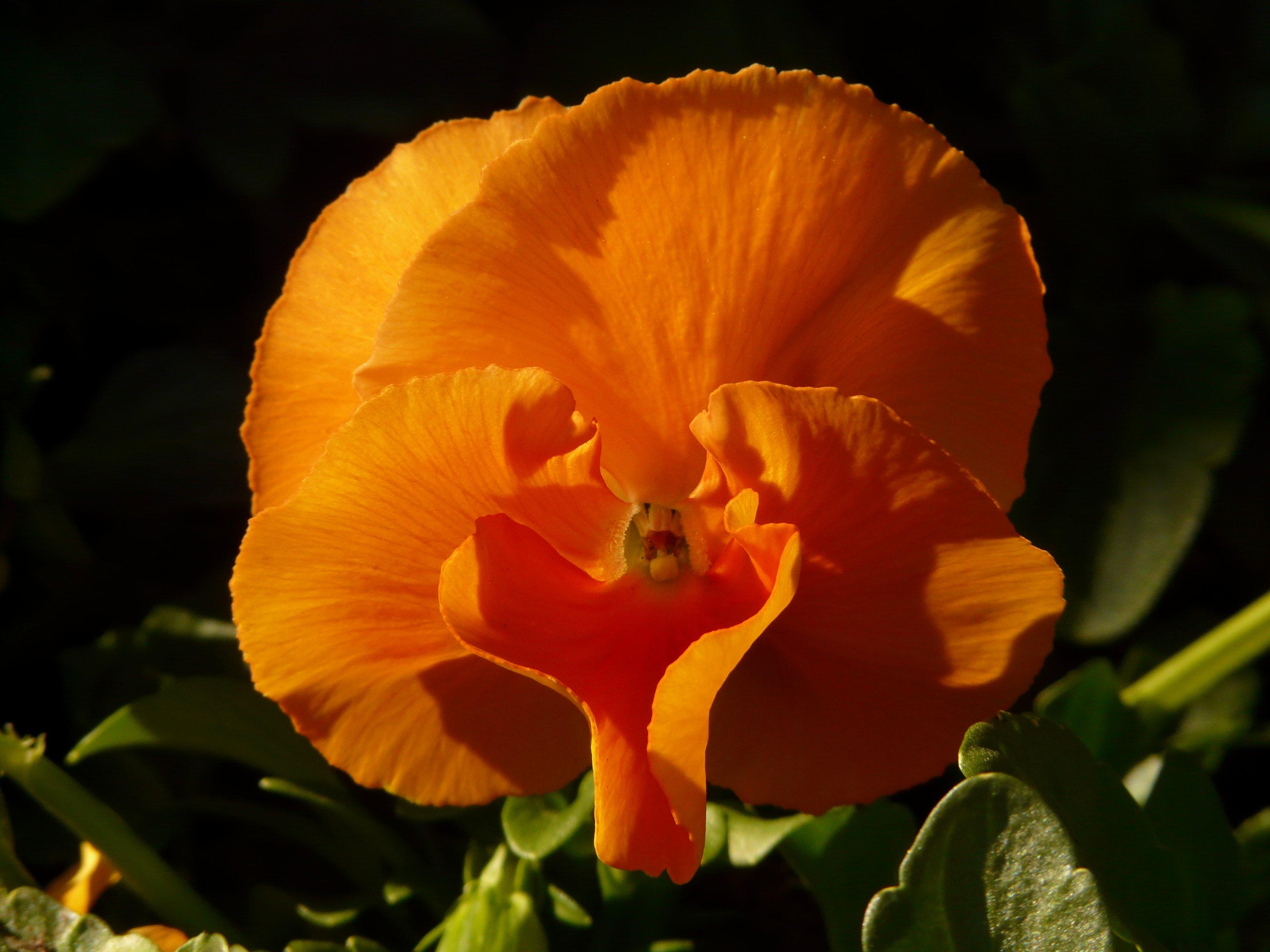 Images Gratuites Fleur Petale Floraison Orange Botanique