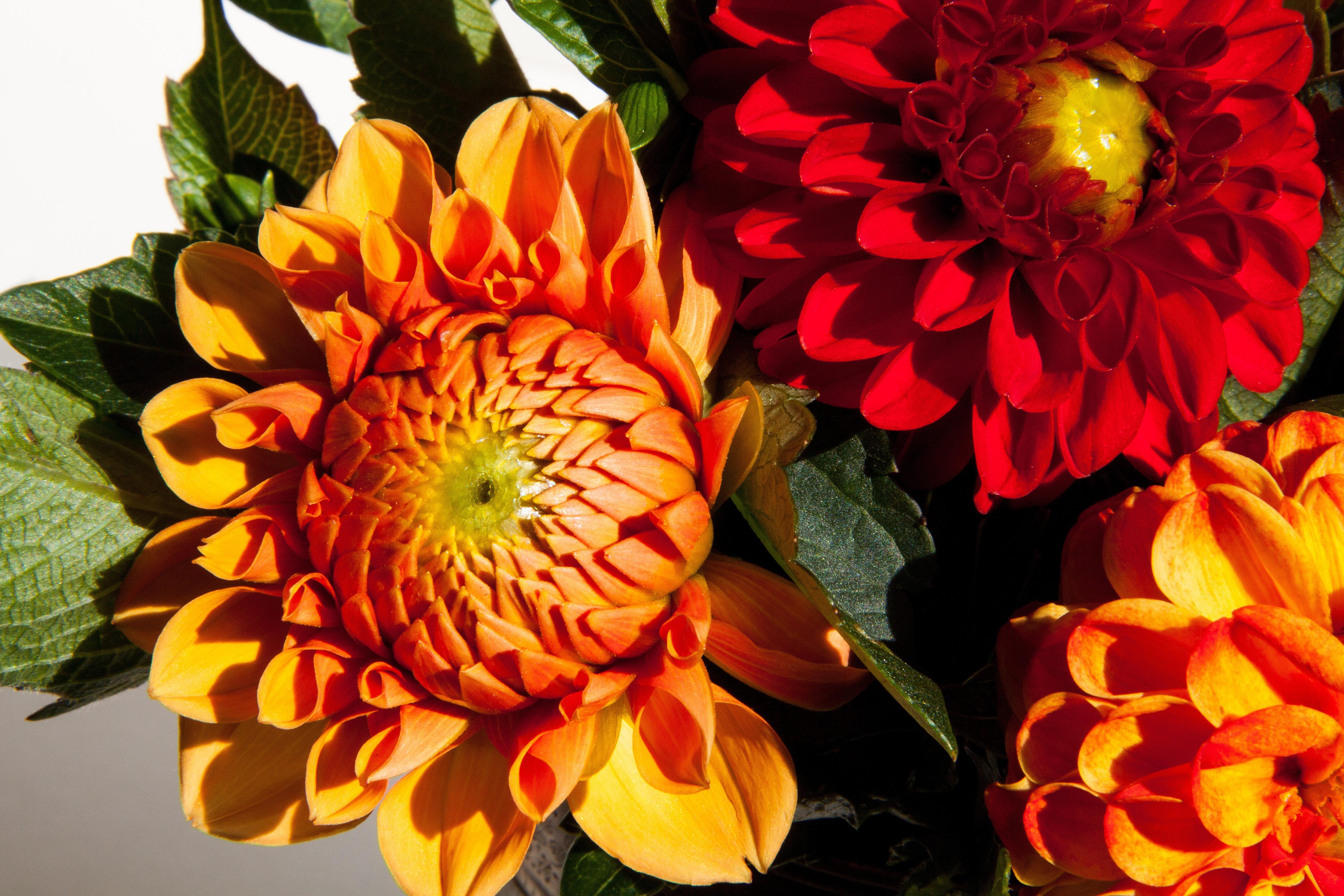 kostenlose foto bl hen blume bl tenblatt orange rot botanik gelb flora dahlie. Black Bedroom Furniture Sets. Home Design Ideas