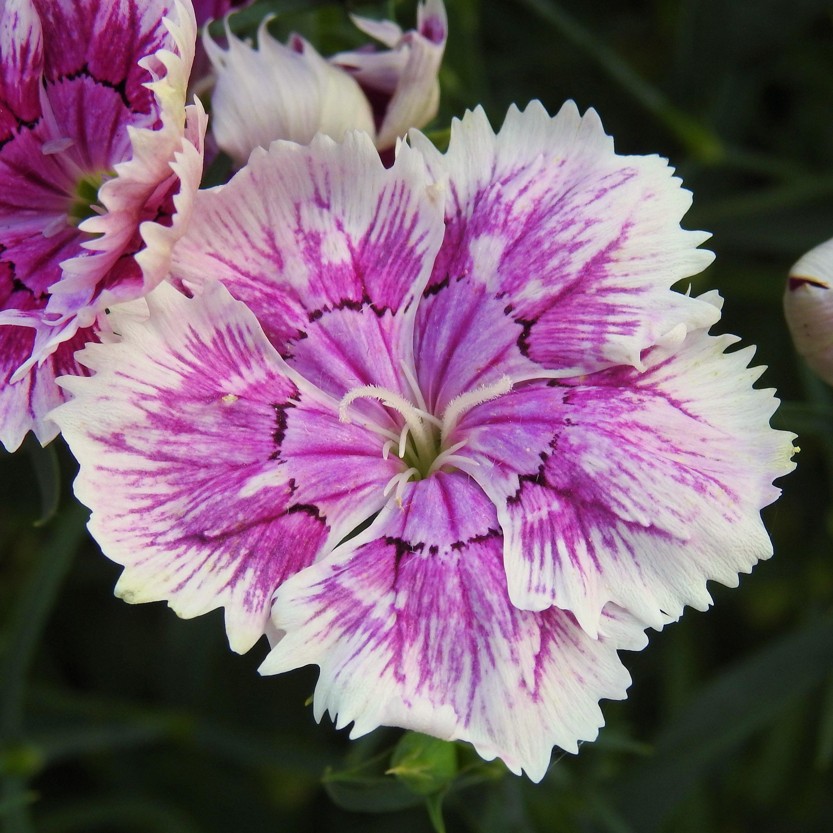 Free Images Blossom Flower Petal Bloom Flora Dianthus