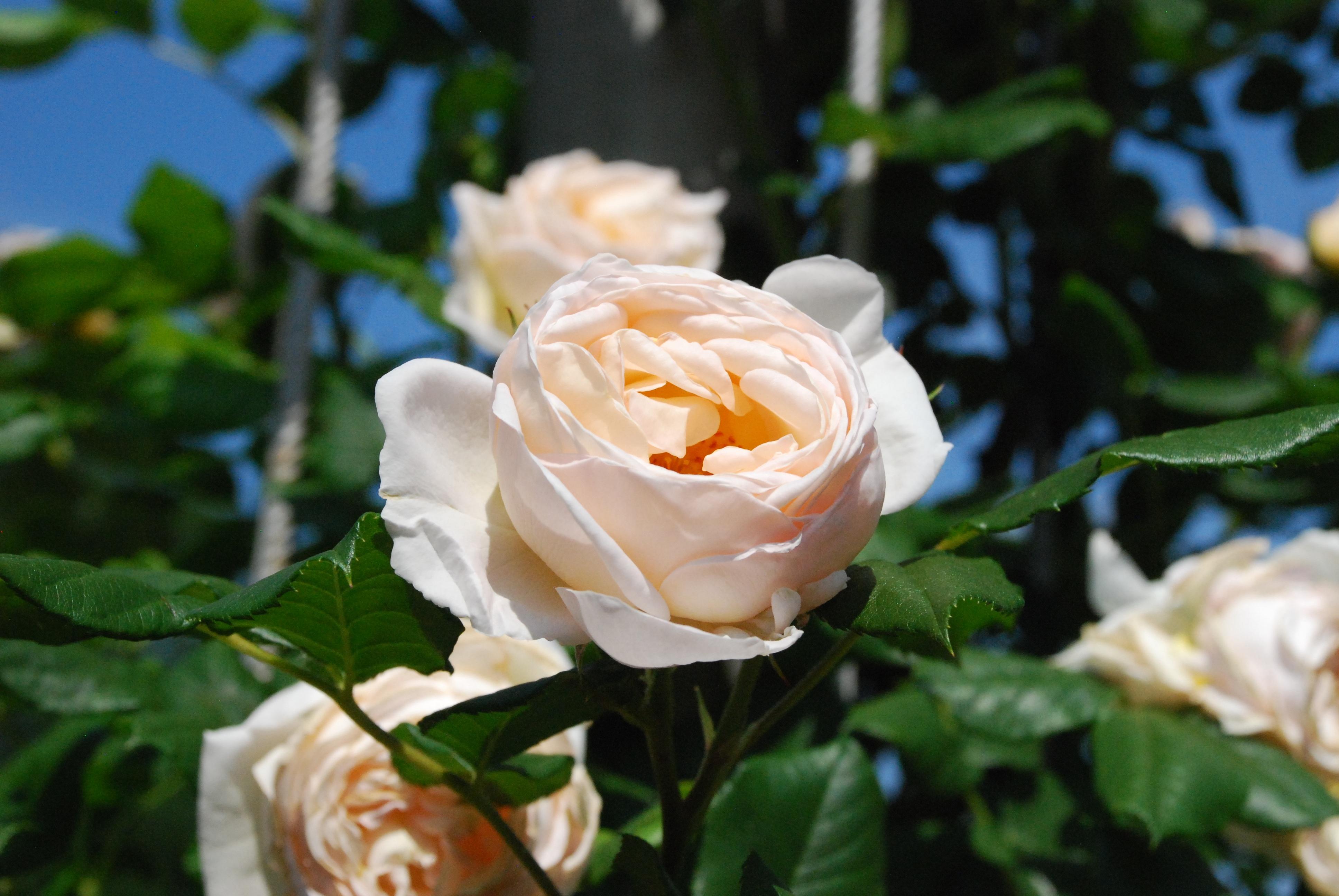 Gambar menanam daun bunga berkembang botani dekat flora keindahan harum budidaya bunga floribunda kacapiring naik mekar mawar putih