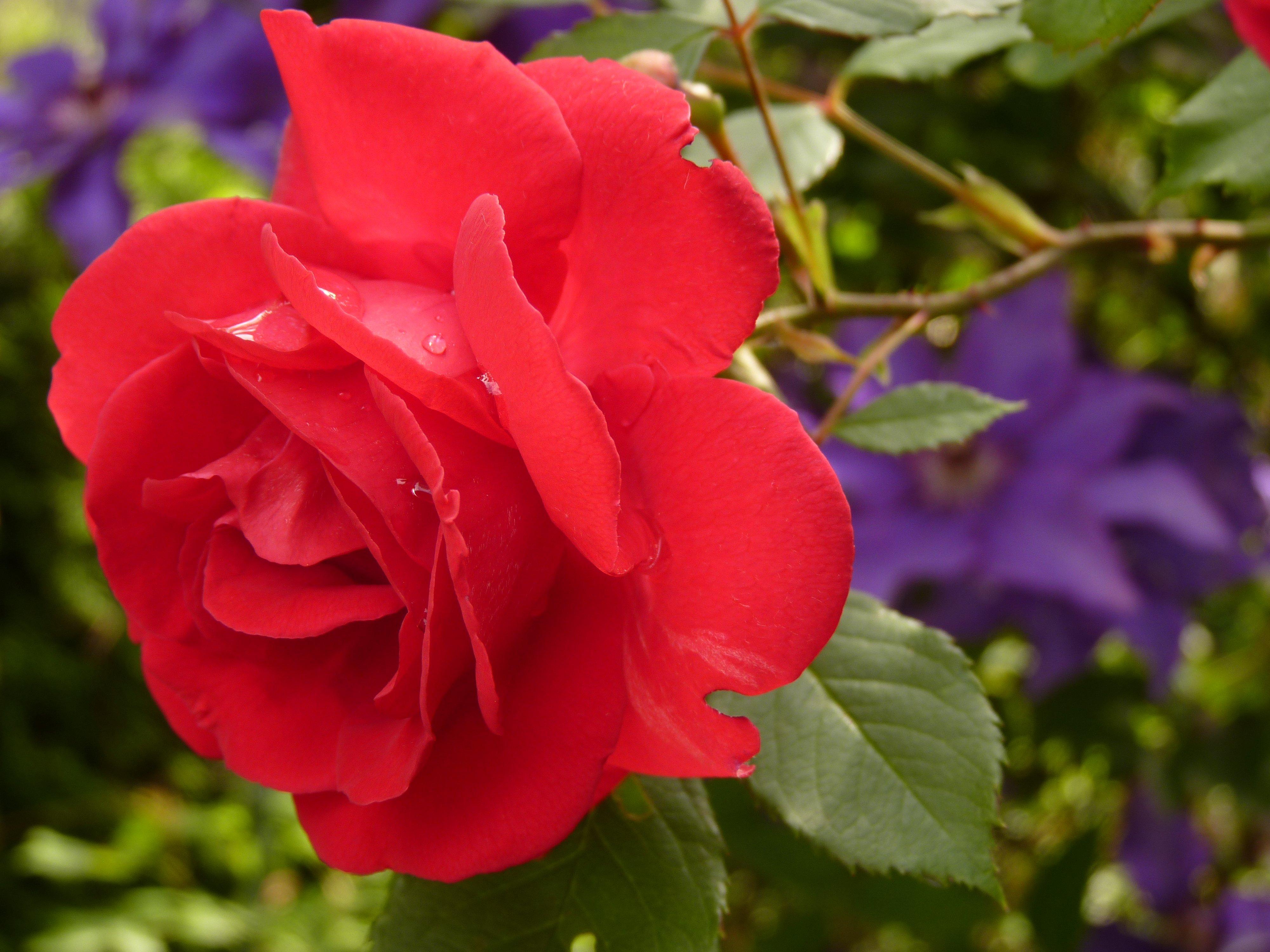 free images blossom flower petal botany flora red. Black Bedroom Furniture Sets. Home Design Ideas