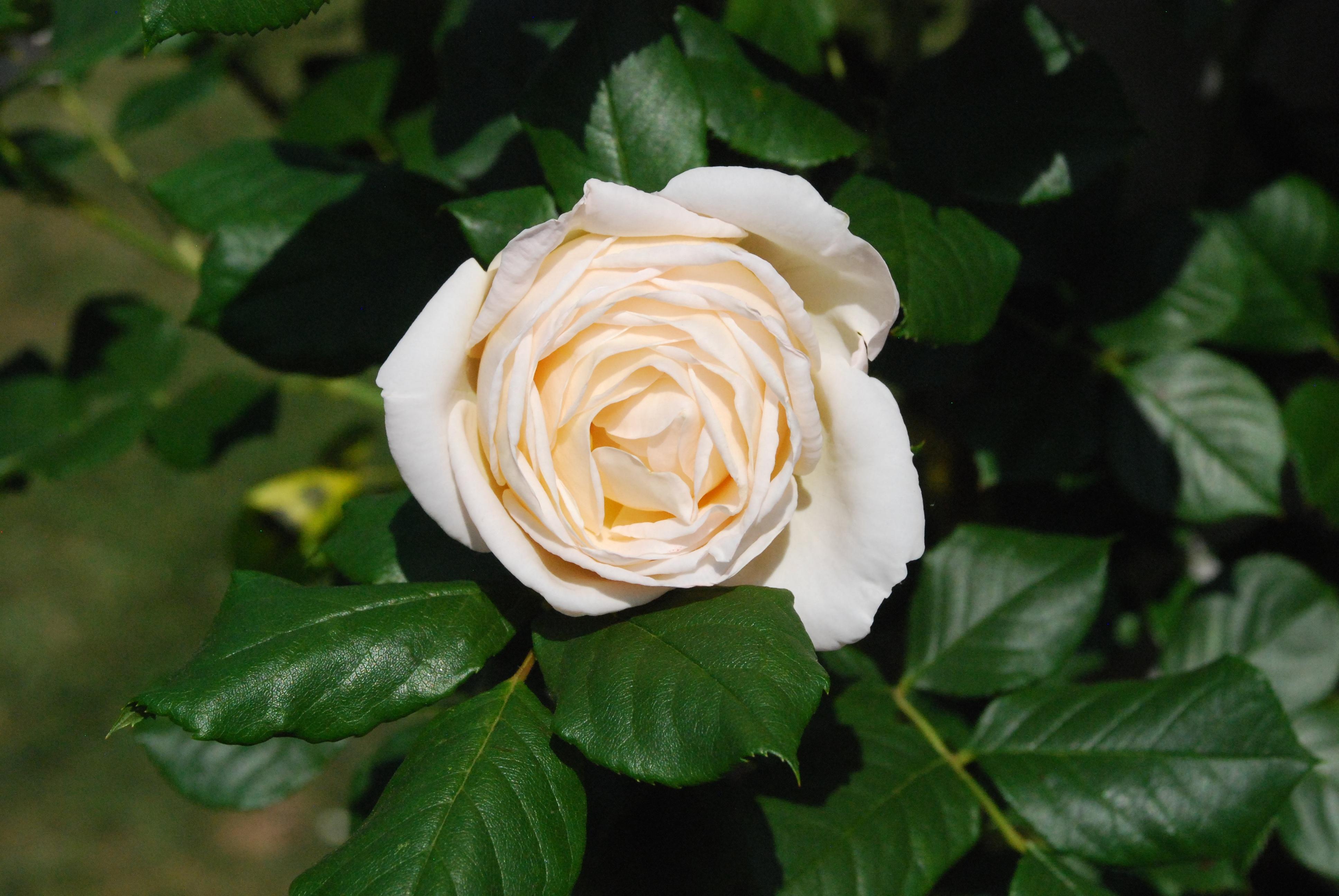 Gambar menanam daun bunga berkembang hijau botani dekat flora belukar keindahan harum floribunda naik mekar mawar putih tanaman berbunga