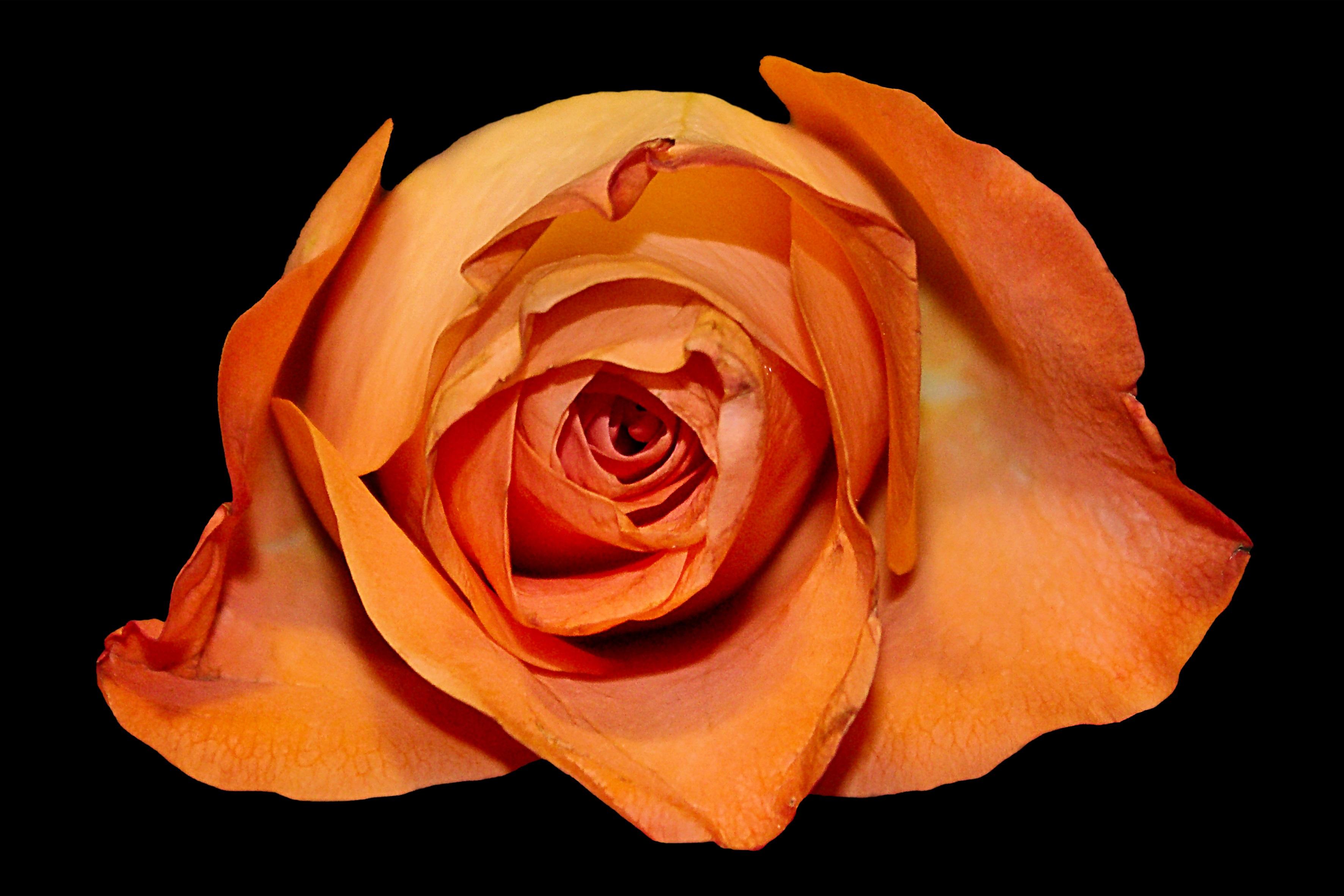 images gratuites : fleur, pétale, floraison, orange, rouge, jaune