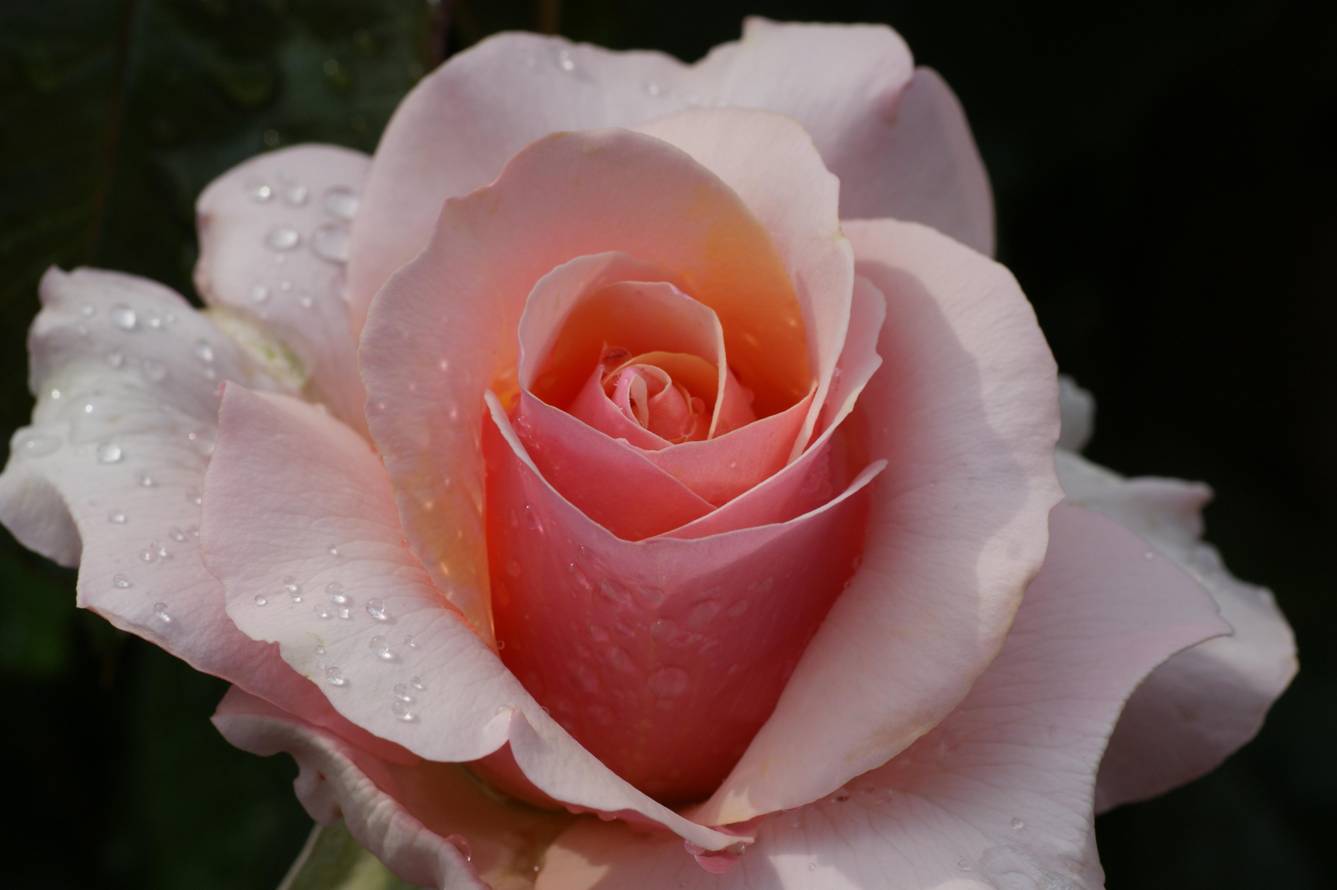 Картинки с распускающейся розой, фото красивые